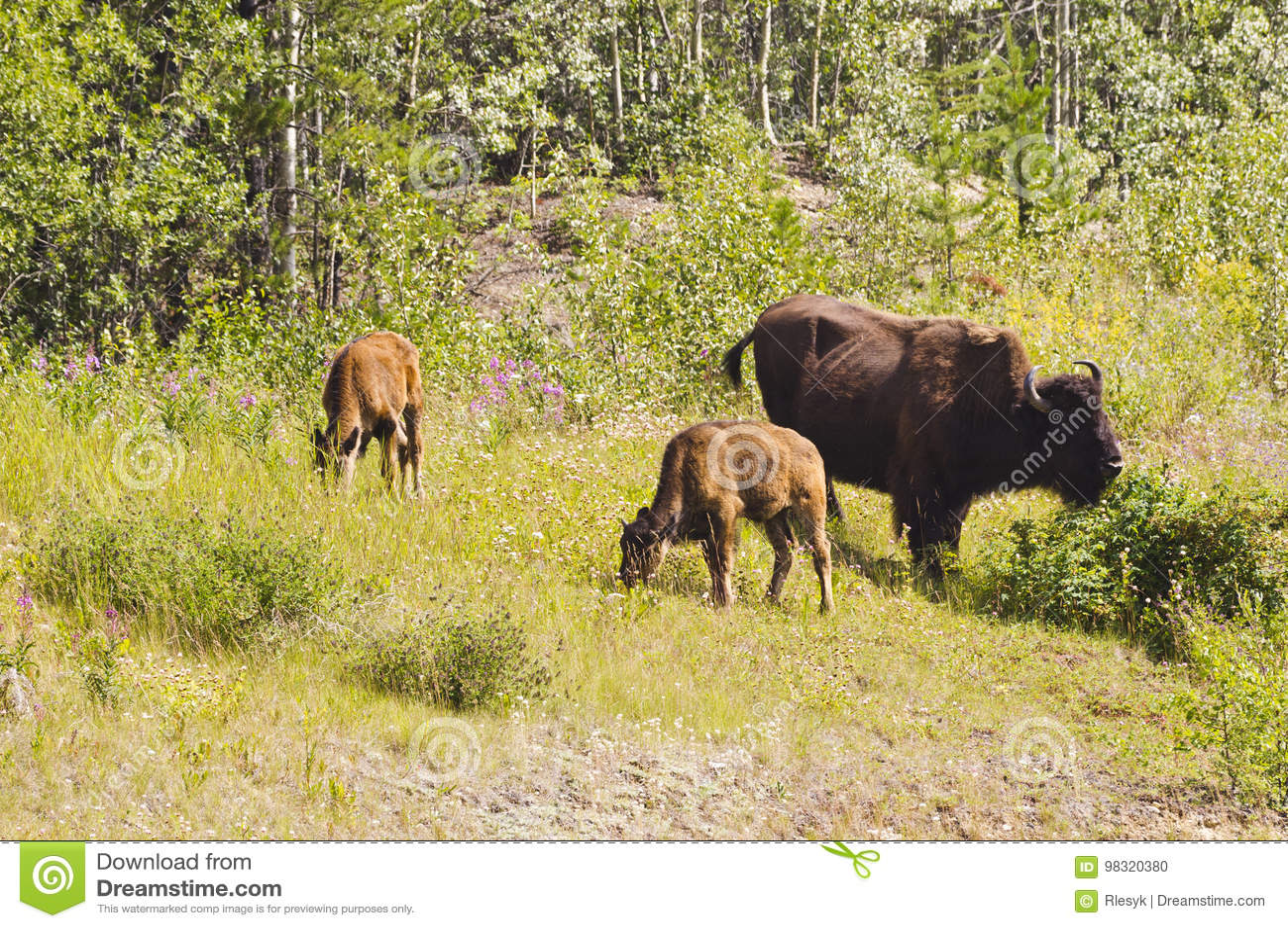 Bison calves grazing