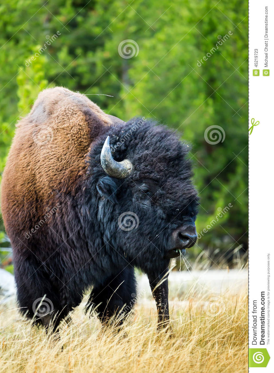 A Bison Eats A bison eats grass in the