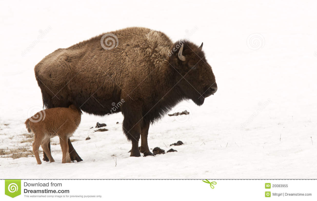 Bison Feeding Its Young Baby In Yellowstone Stock Image