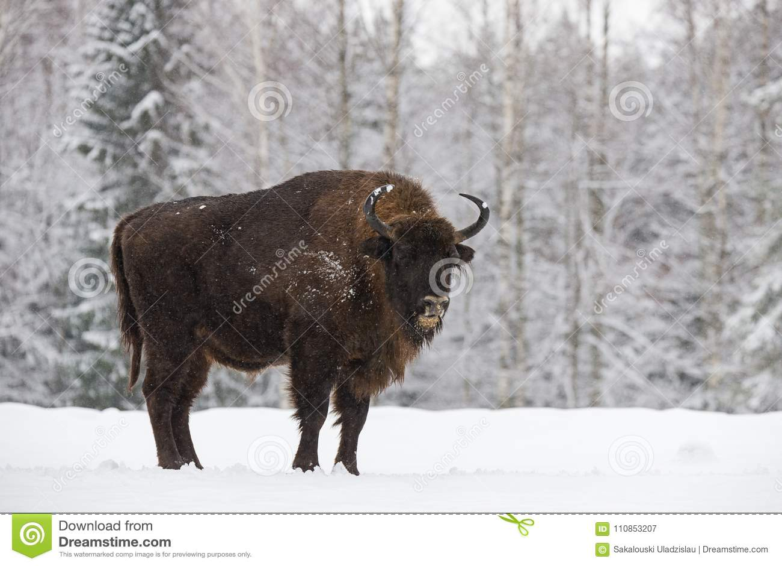Bison On Field Wisent adulto poderoso majestoso no tempo de inverno, Bielorrússia do Aurochs Bisonte de madeira europeu selvagem,
