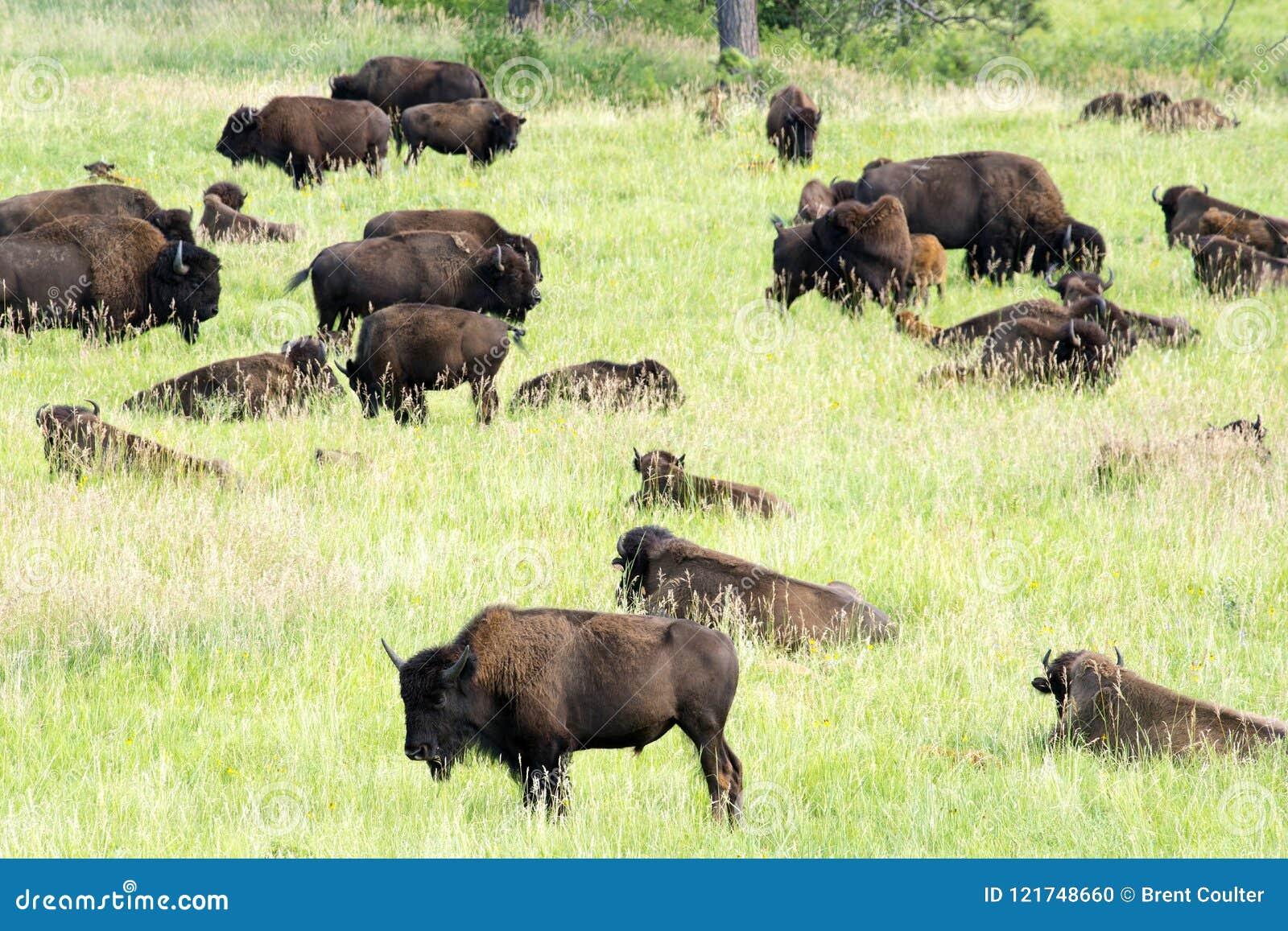 Bison Heard på Black Hills South Dakota