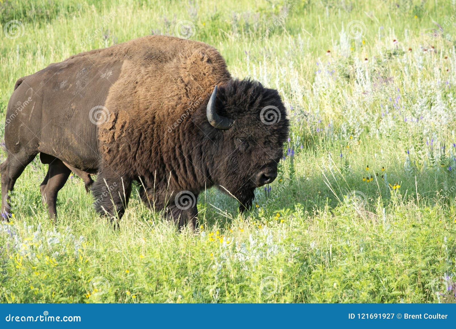 Bison Heard in Zwart Heuvels Zuid-Dakota