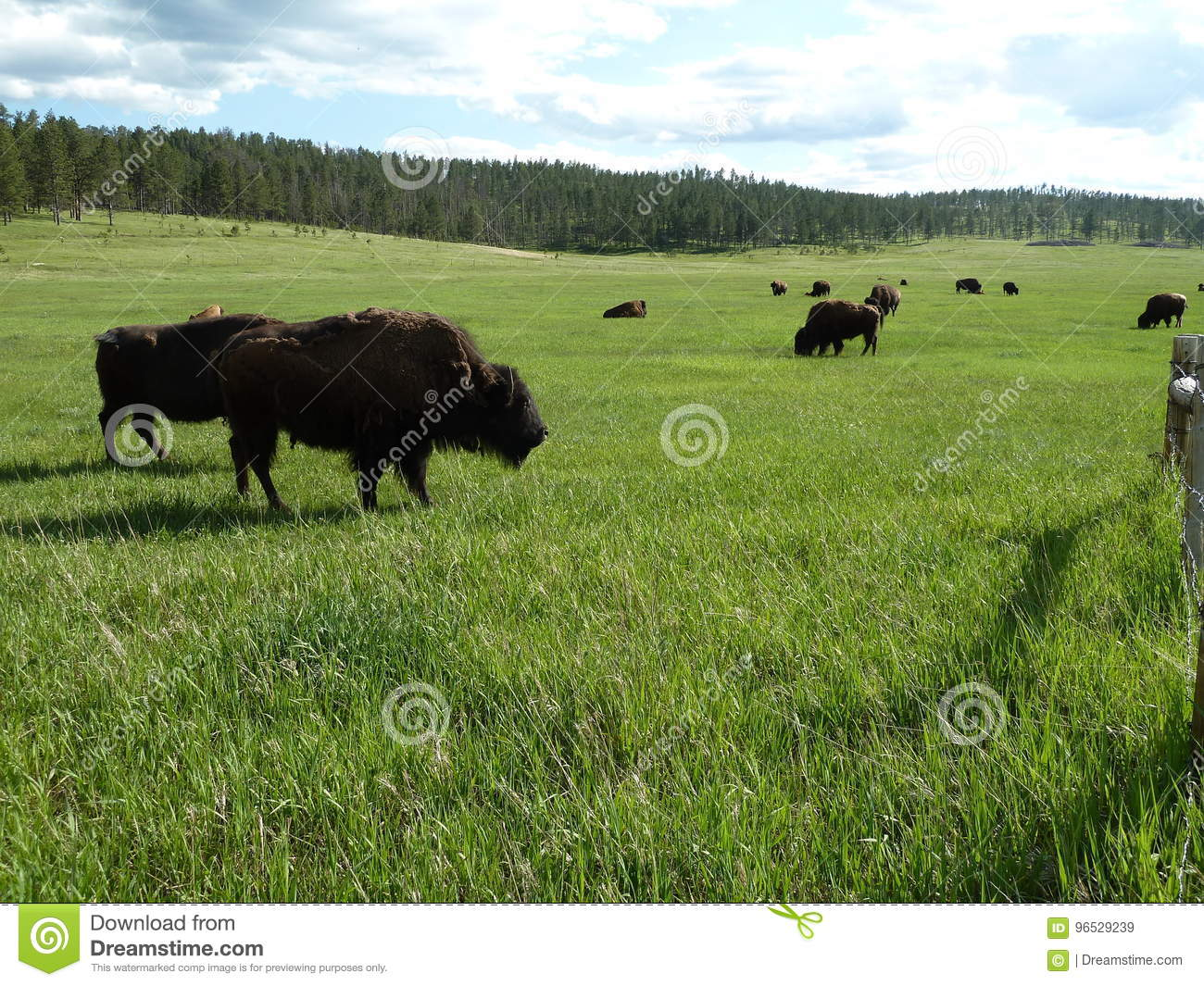 Bison grazing in a field in Eastern Wyoming