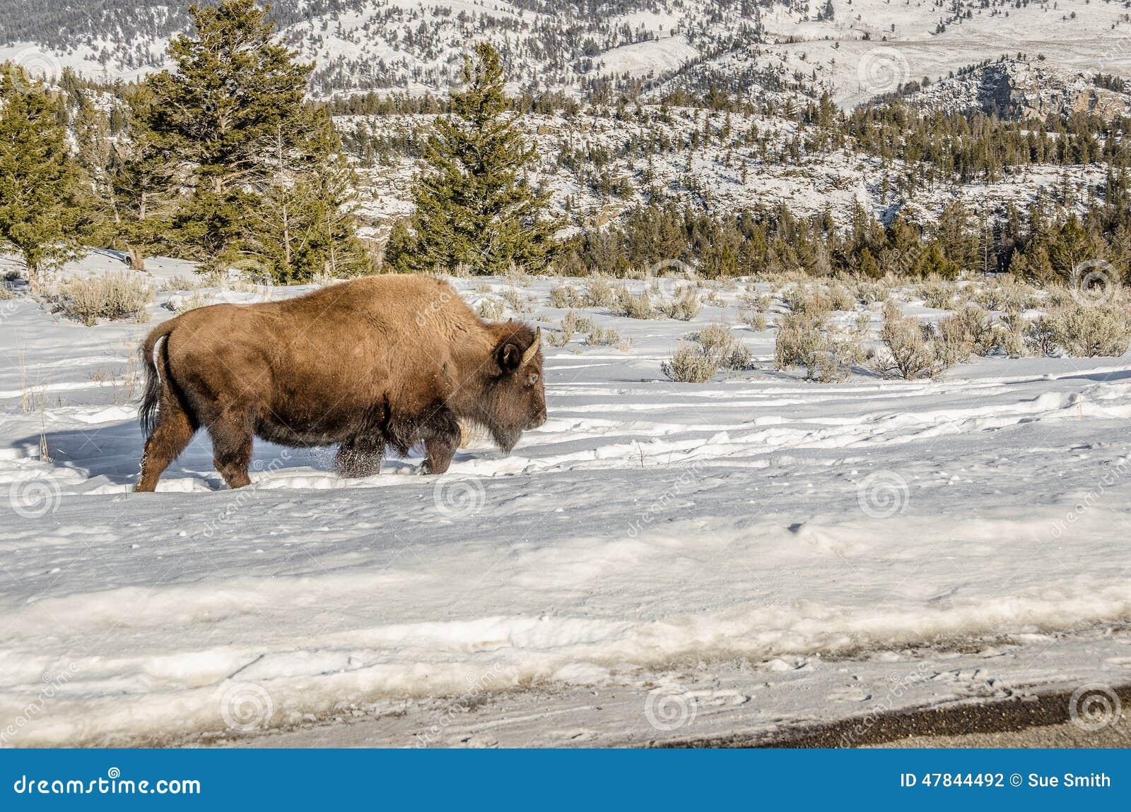 Bison Kicking Up Snow
