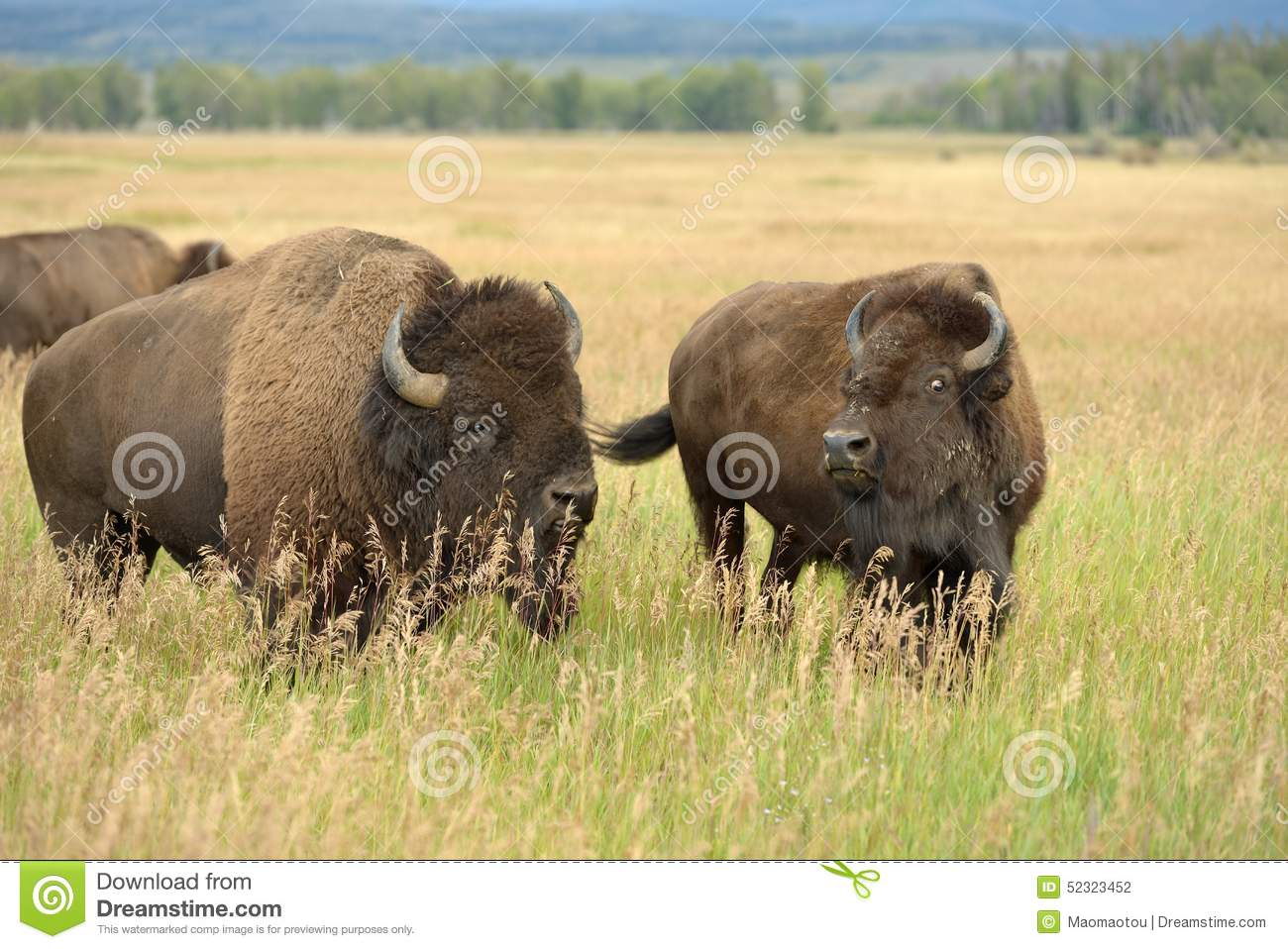 Download Bison Pair stock photo. Image of bull, feeding, grass - 52323452