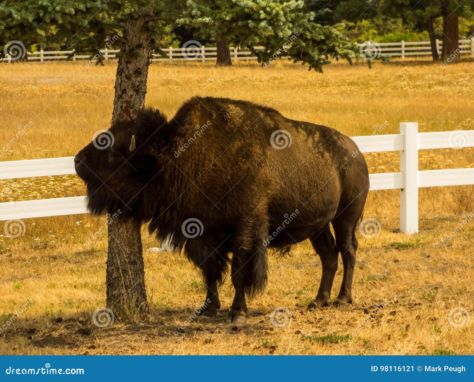 Bison Rubbing op een Boom