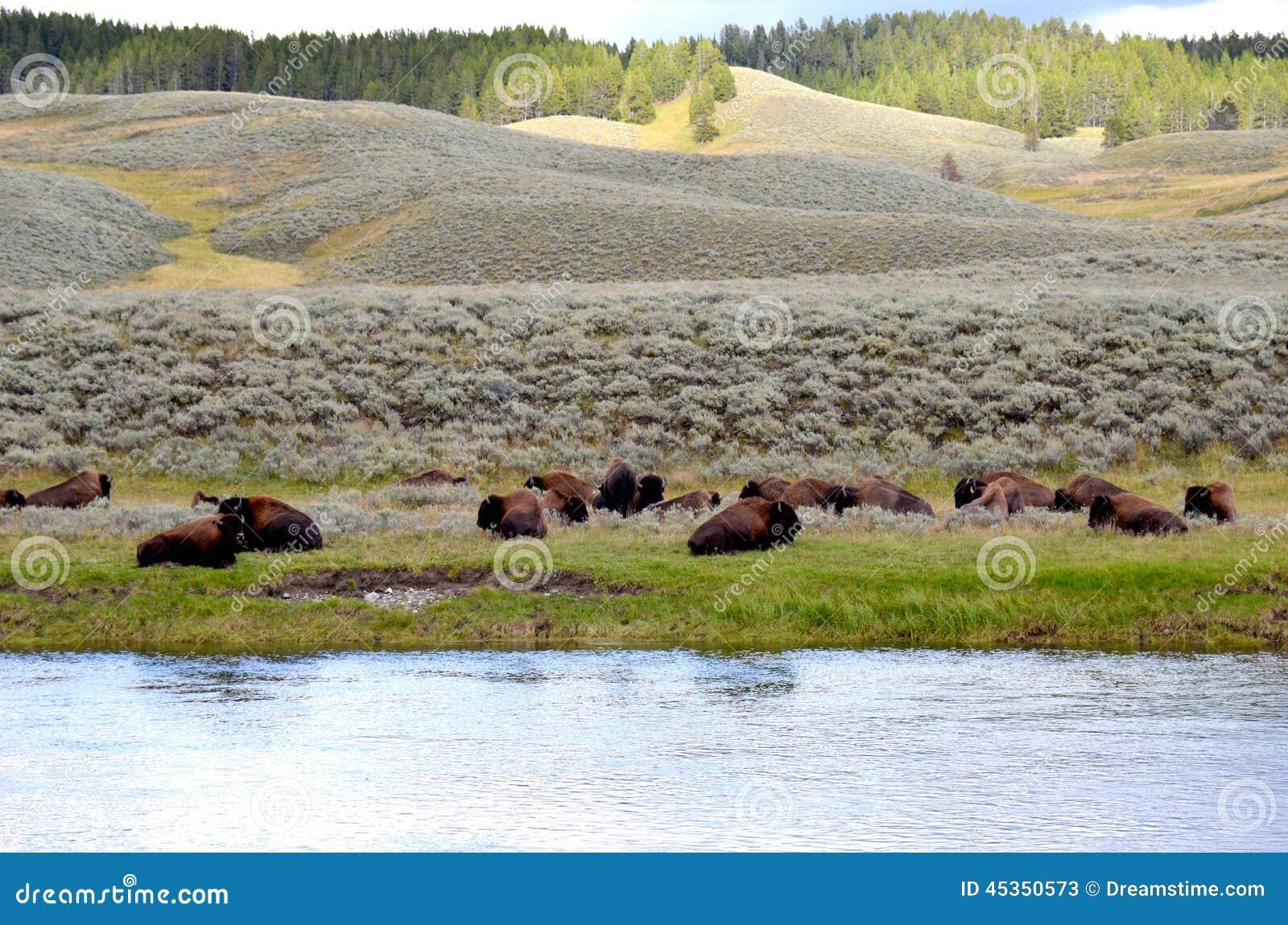 Bison se reposant sur un pré
