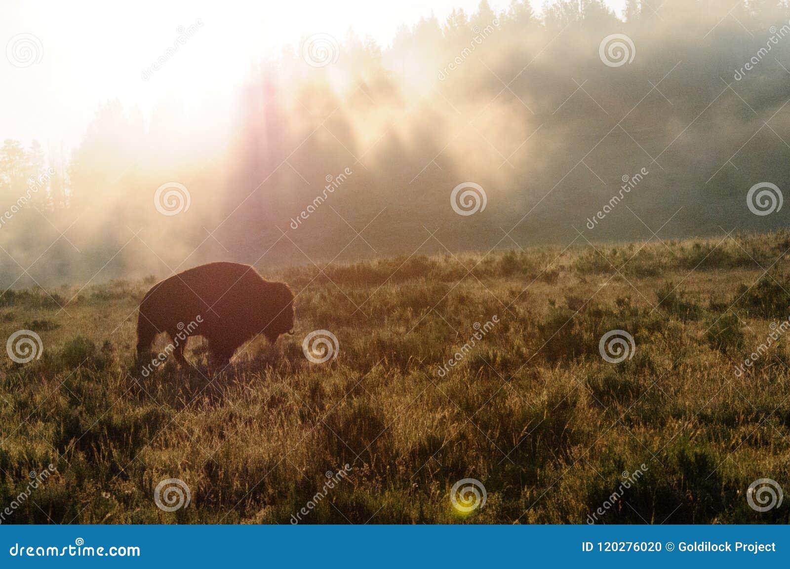 Bison Silhoutte på gryning