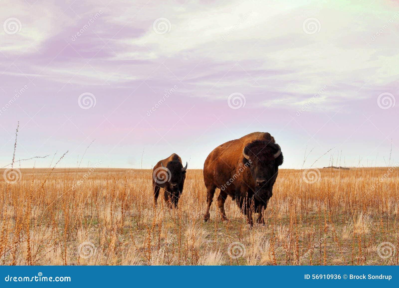 Bison Stare Down