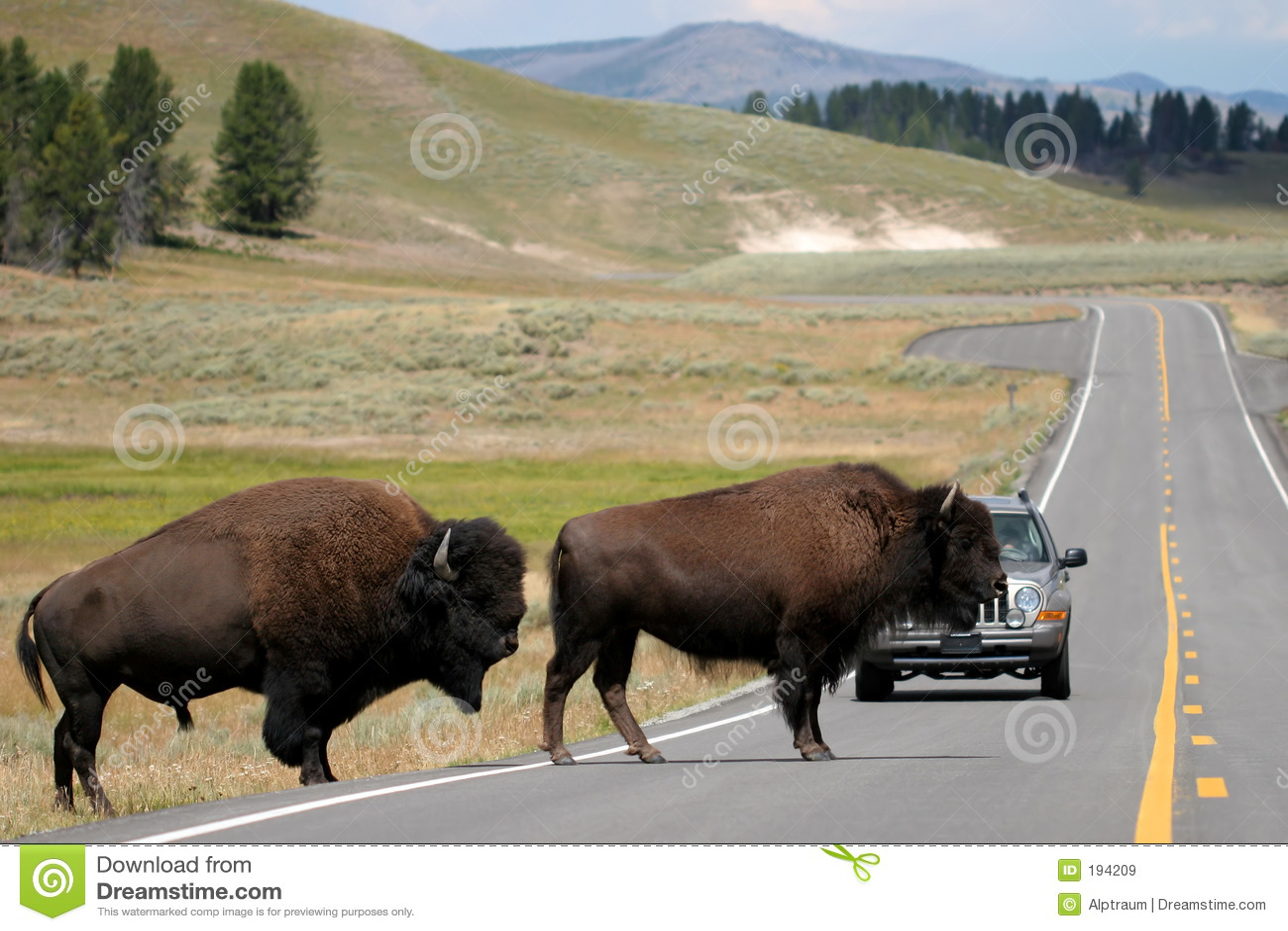 Bison traversant la route dans yellowstone