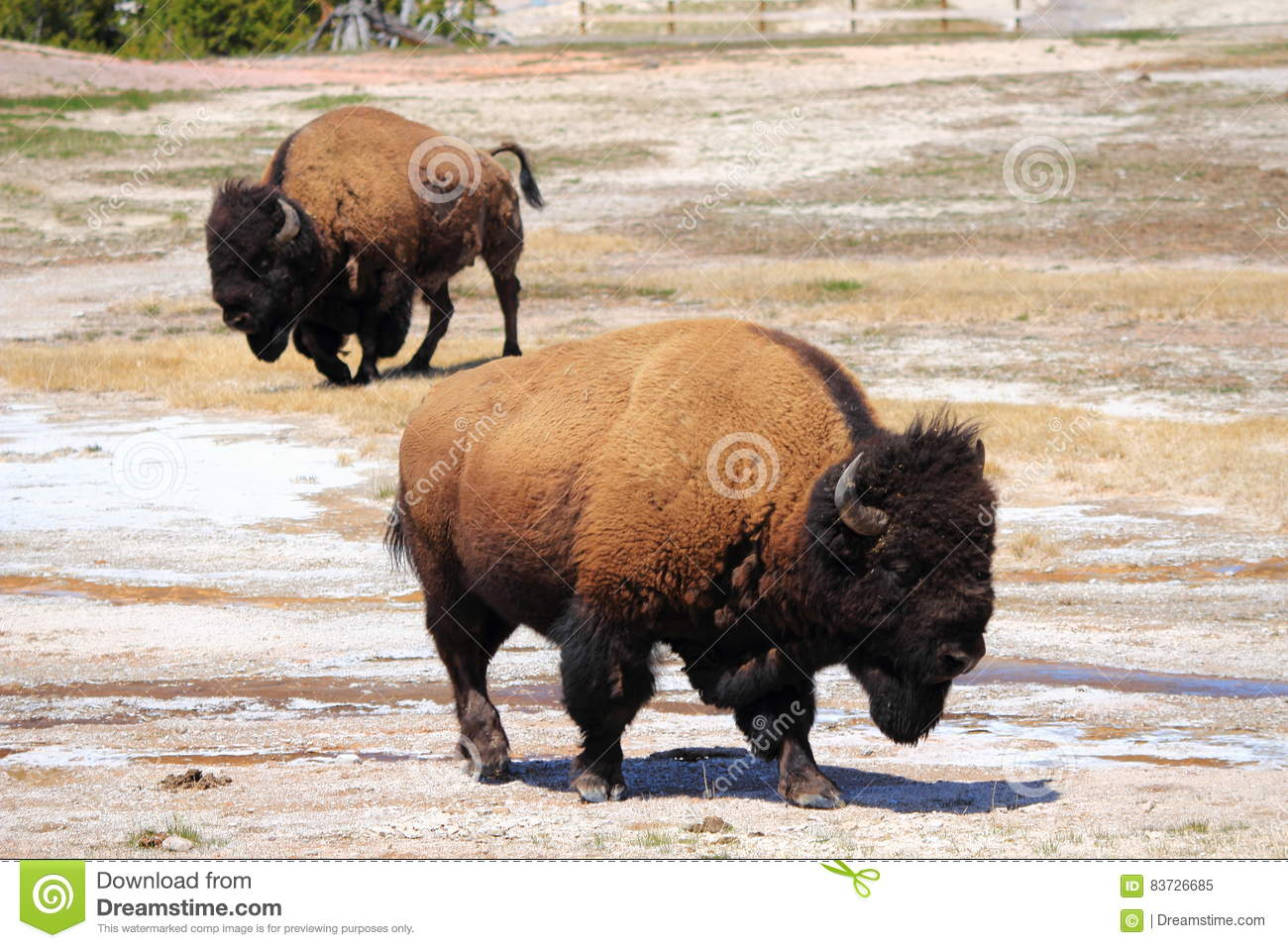 Yellowstone National Park Wyoming Bisons Near Old Faithful