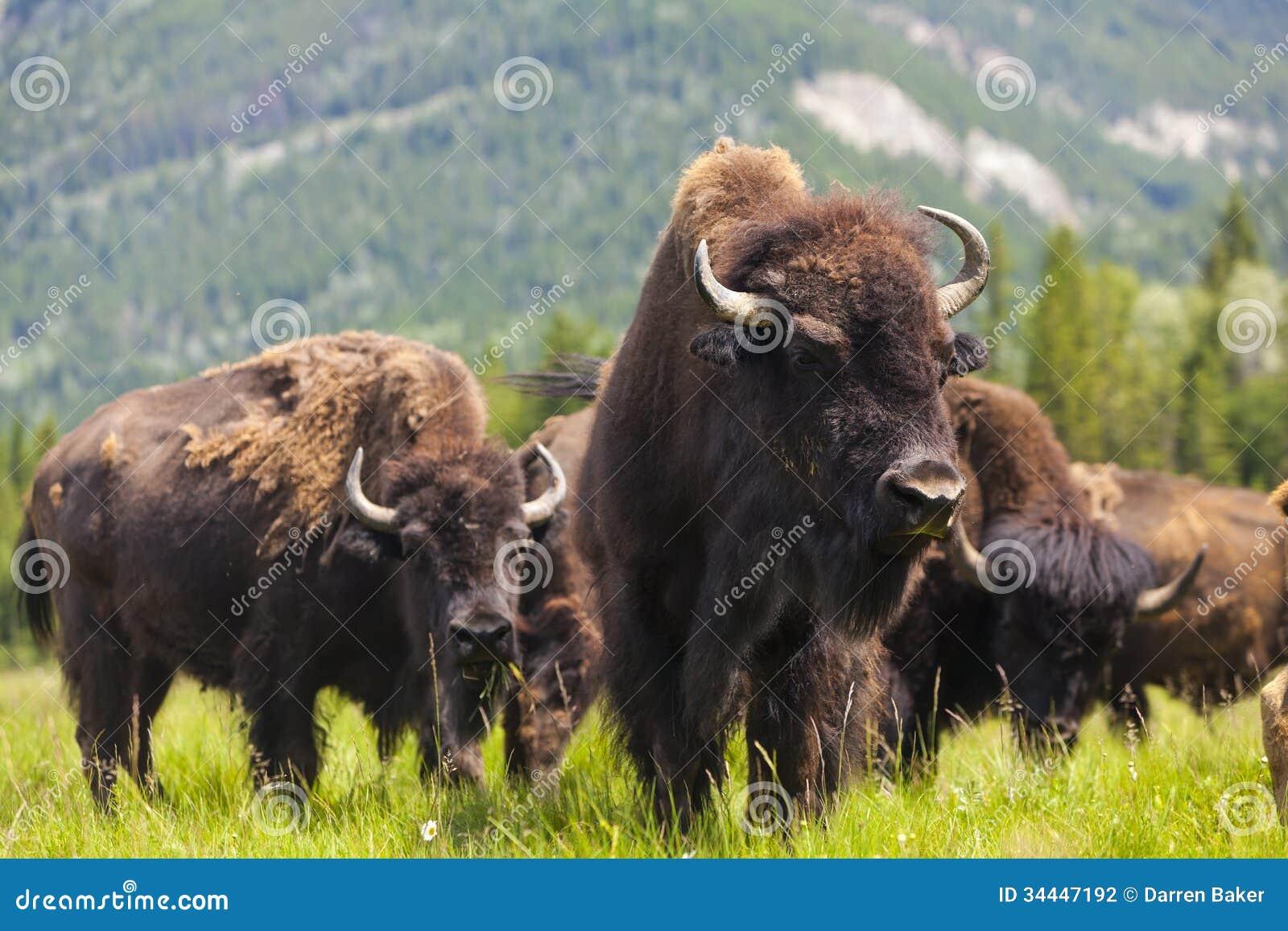 Bisonte americano o búfalo