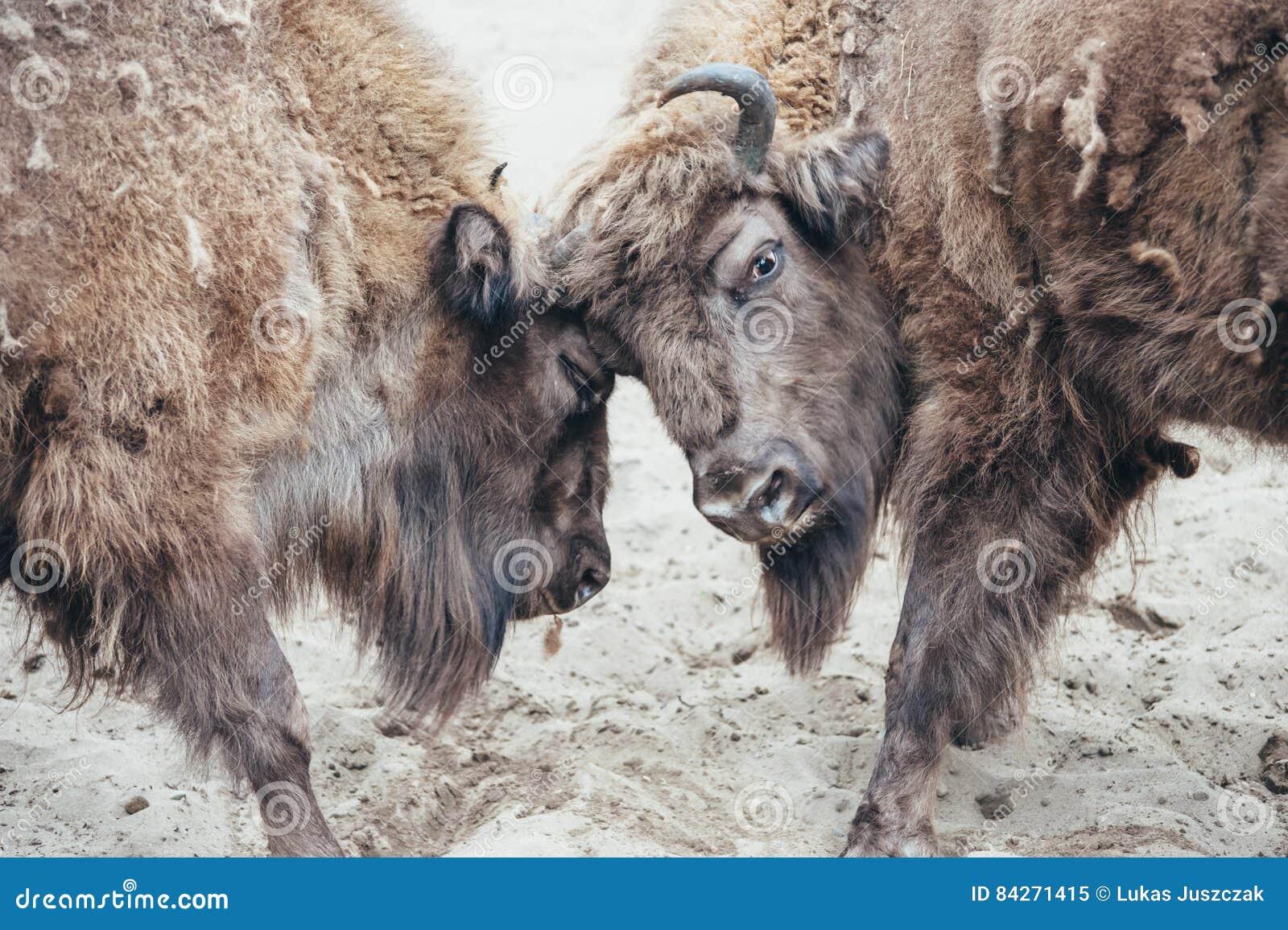 Bisonte de combate