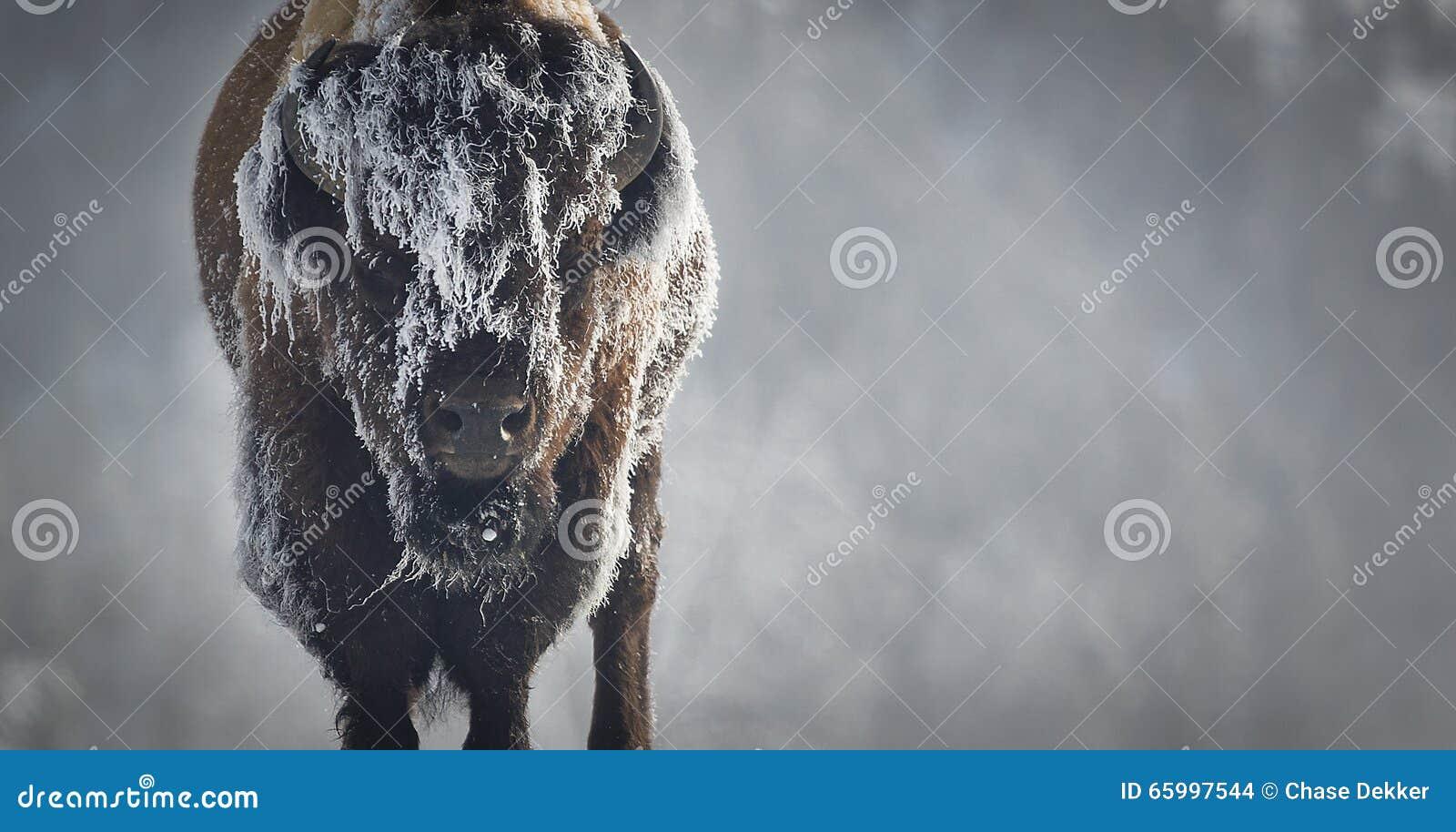 Bisonte del ghiaccio
