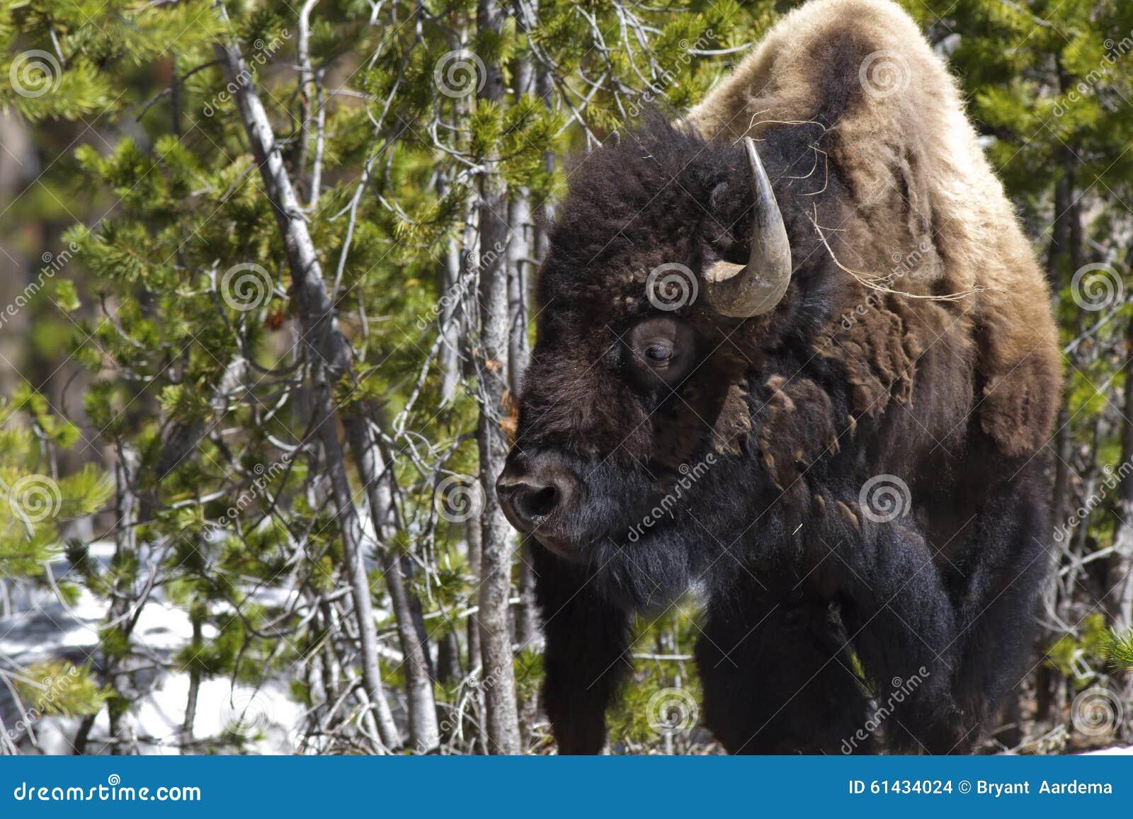 Bisonte derecho