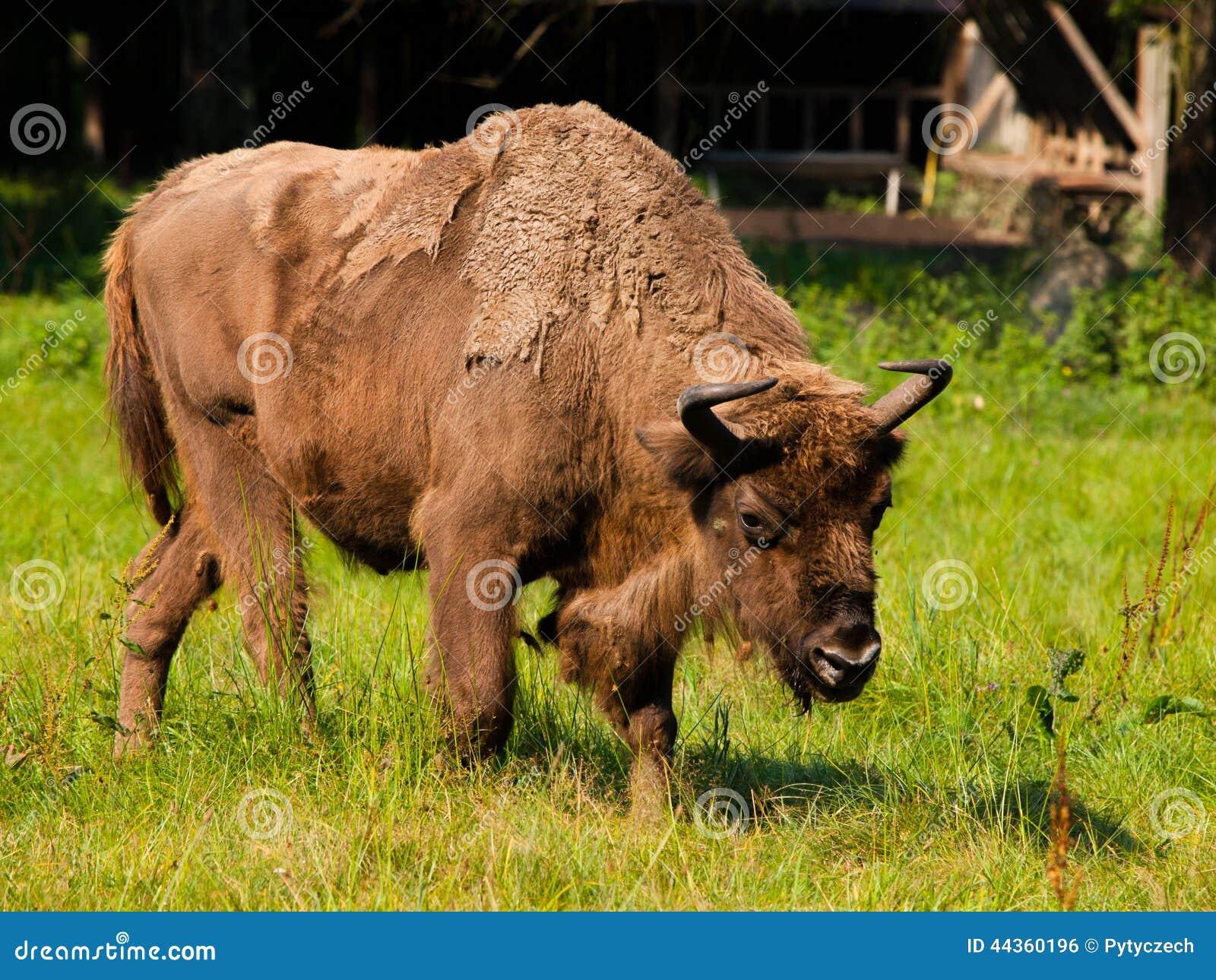 Bisonte di legno europeo