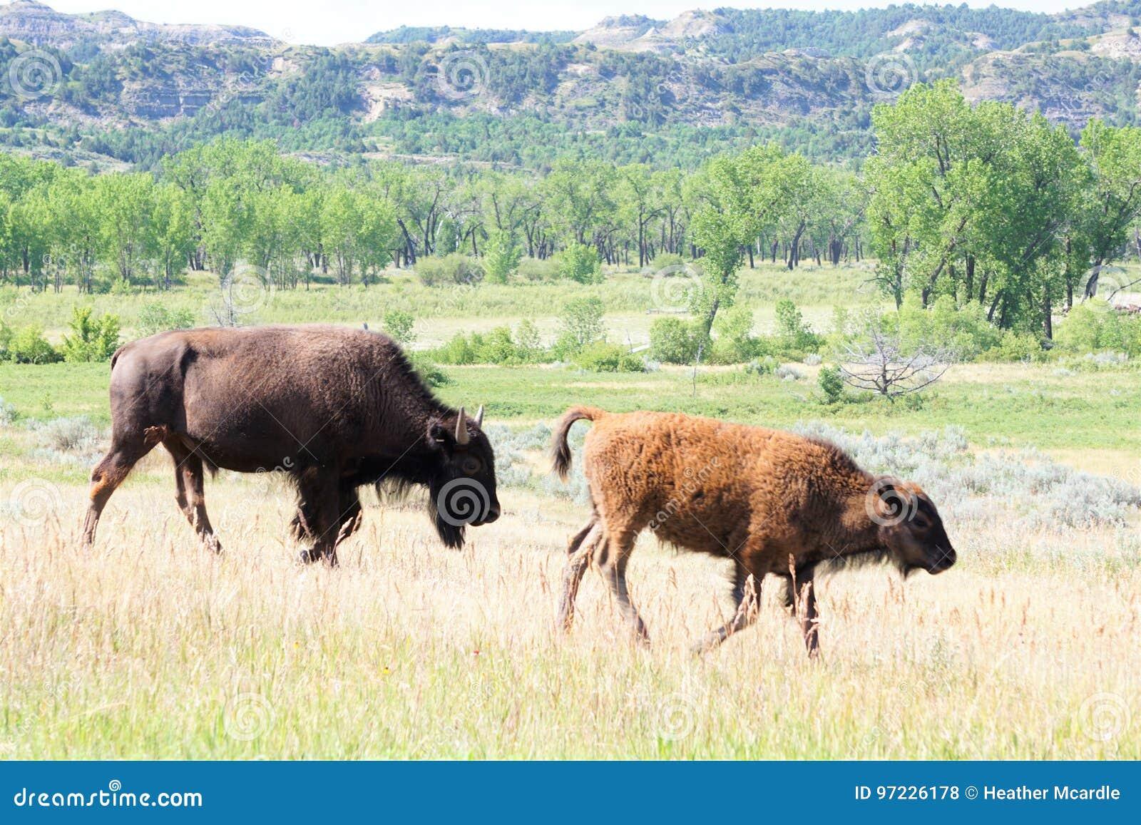 Bisonte due