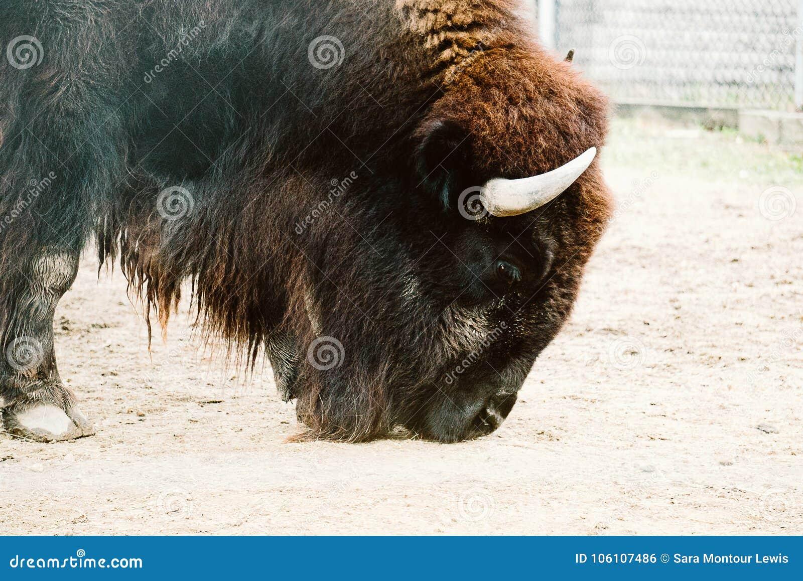 Bisonte en un parque zoológico