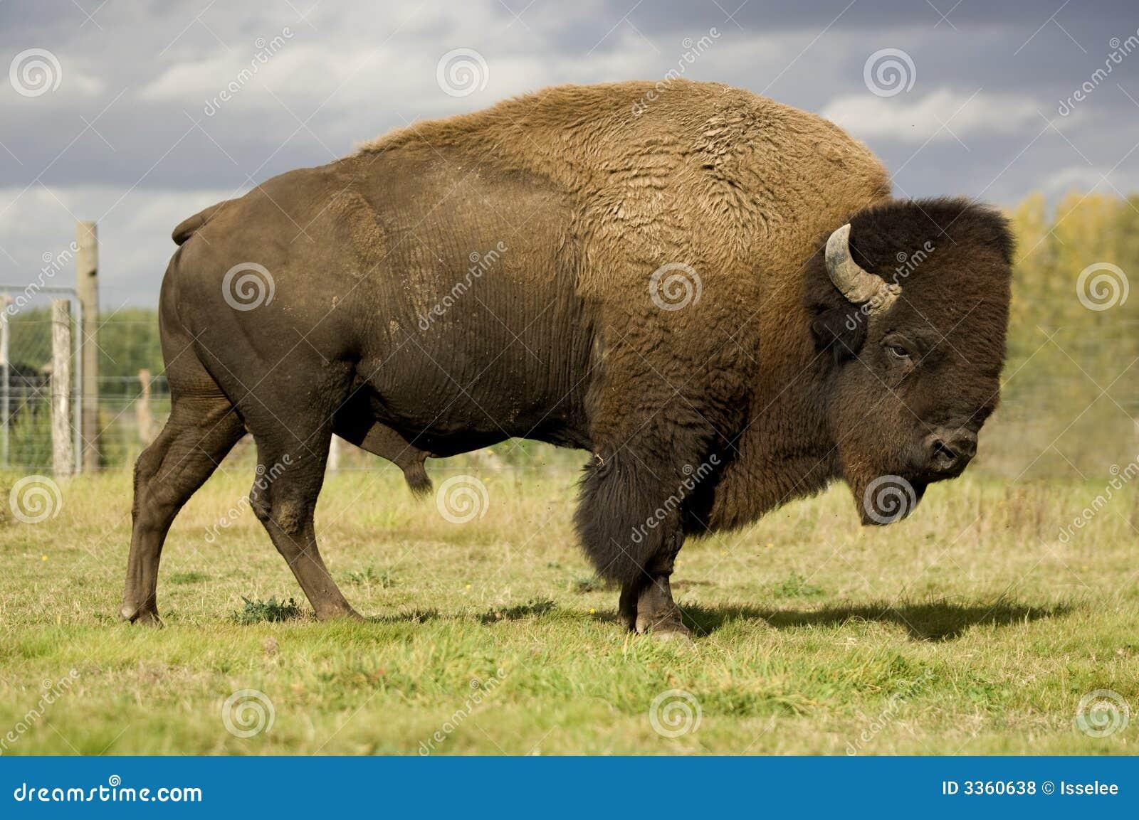 Bisonte Europeo Fotografie Stock Libere da Diritti - Immagine: 3360638