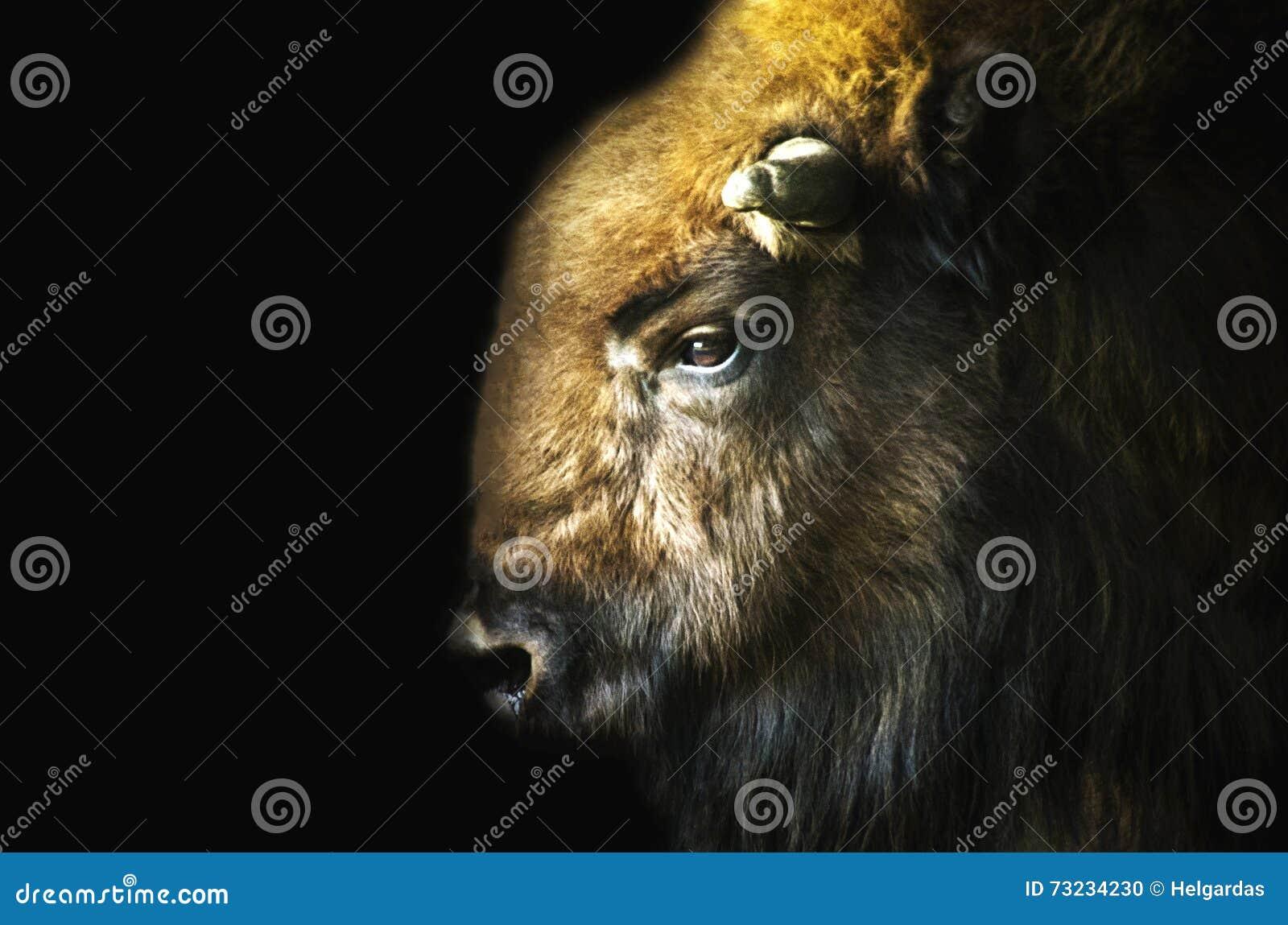 Bisonte masculino (bonasus do bisonte) no fundo preto