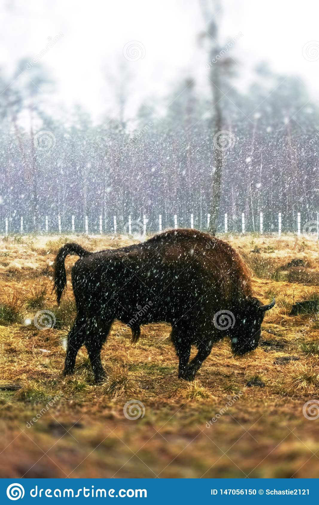 Bisonte no campo