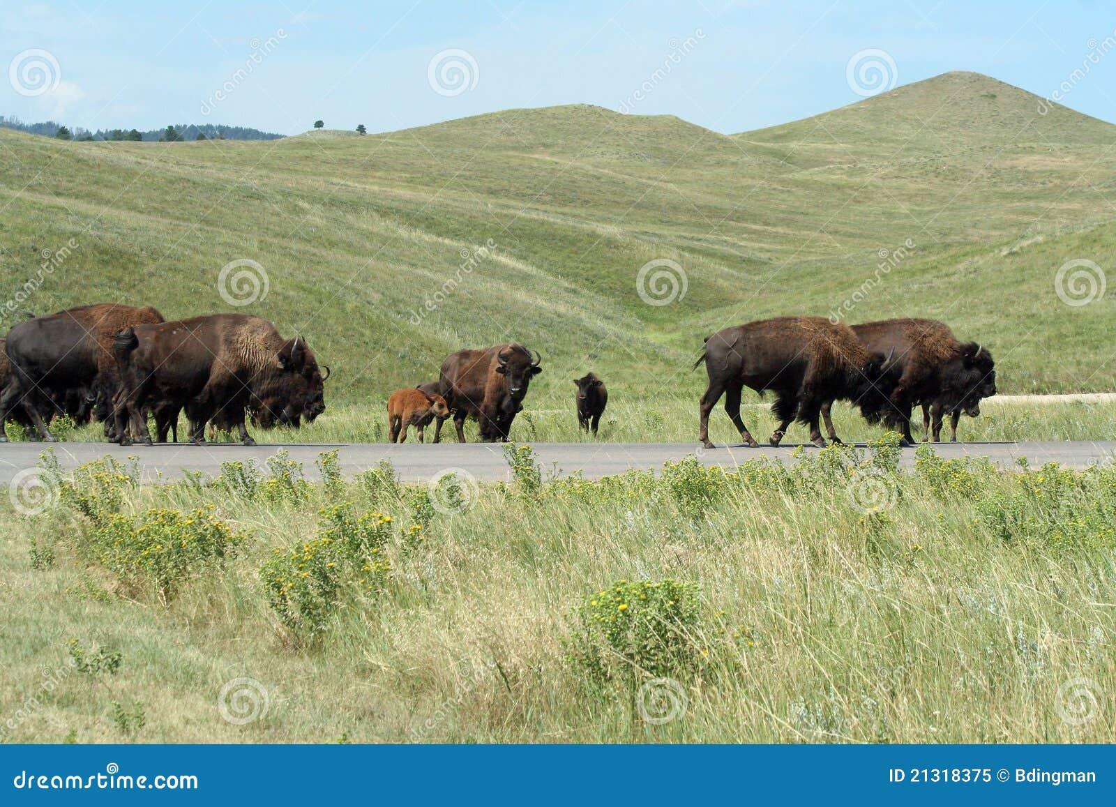 Bisonte no parque de estado de Custer, South Dakota