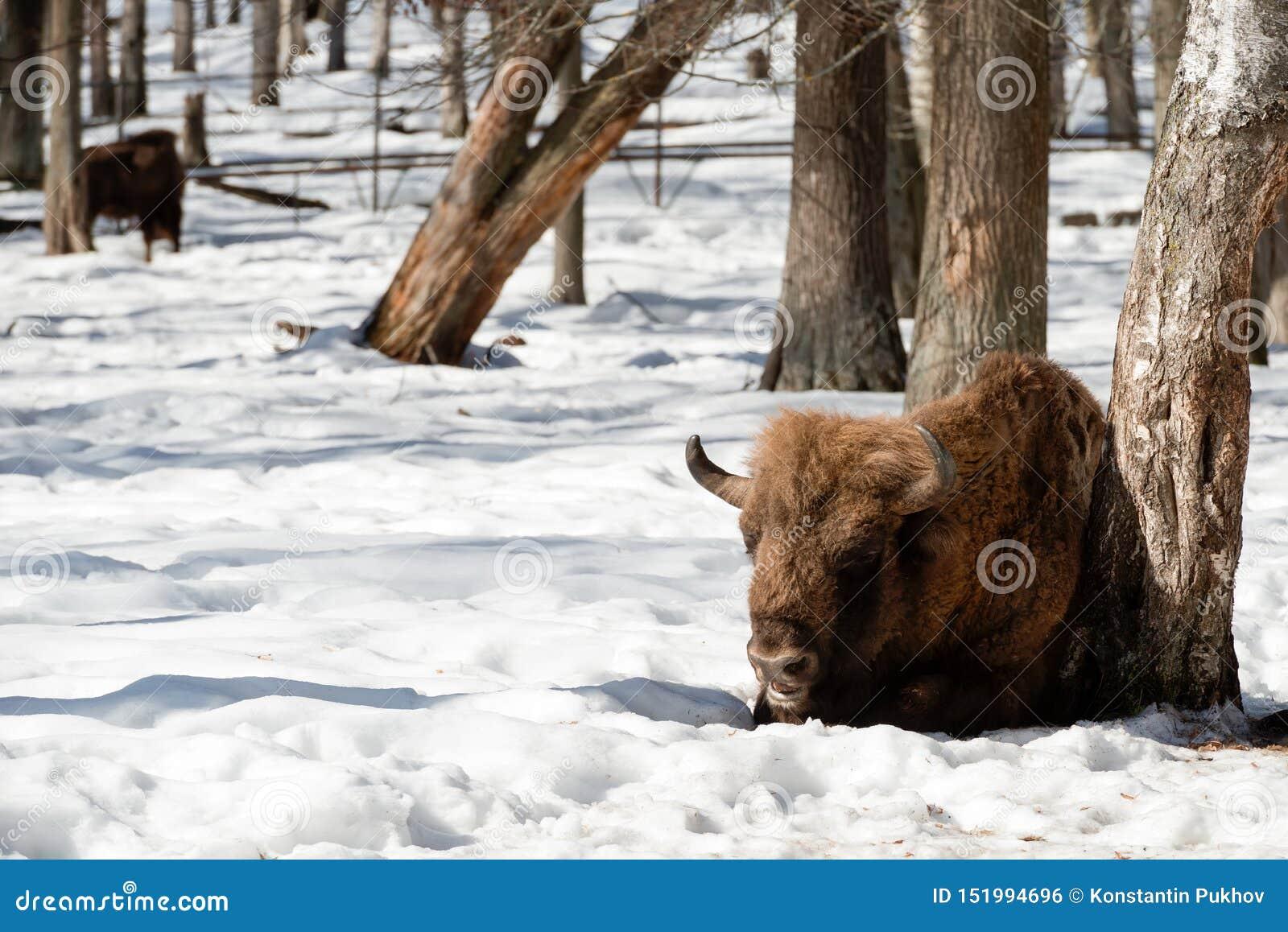 Bisontes europeos eurasiáticos salvajes de los bisontes en el bosque del invierno
