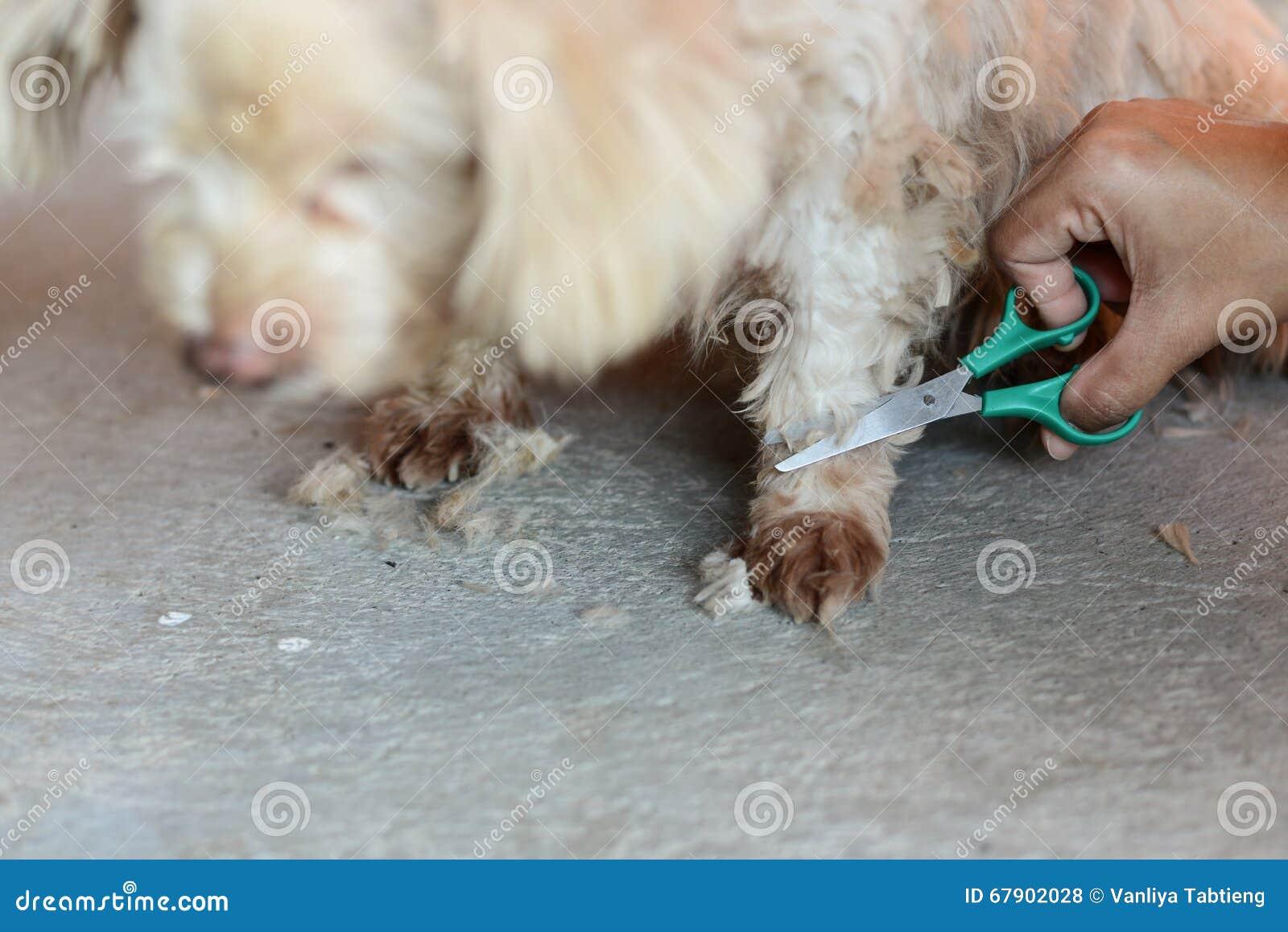 Bitande hår av den gulliga vita hunden vid sax