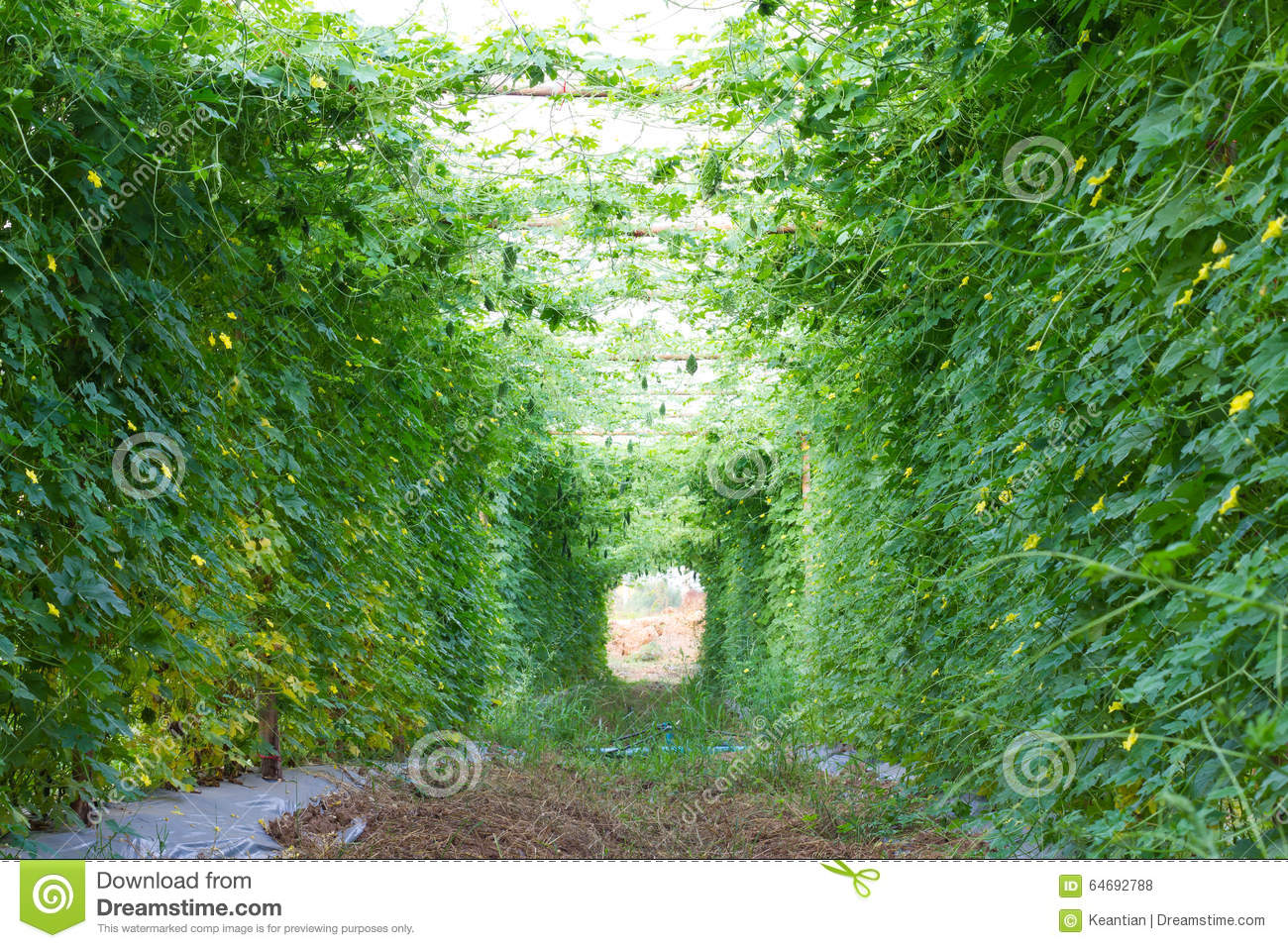 Wall bunch of bitter gourd covered area using bamboo as a structure to ...