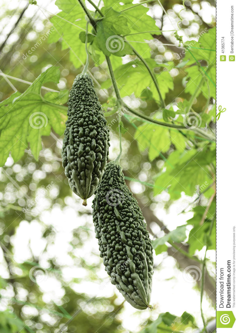 Growing Bitter Melon In The Vegetable Garden: Bitter Melon Growing On A Vine In Garden. Stock Photo