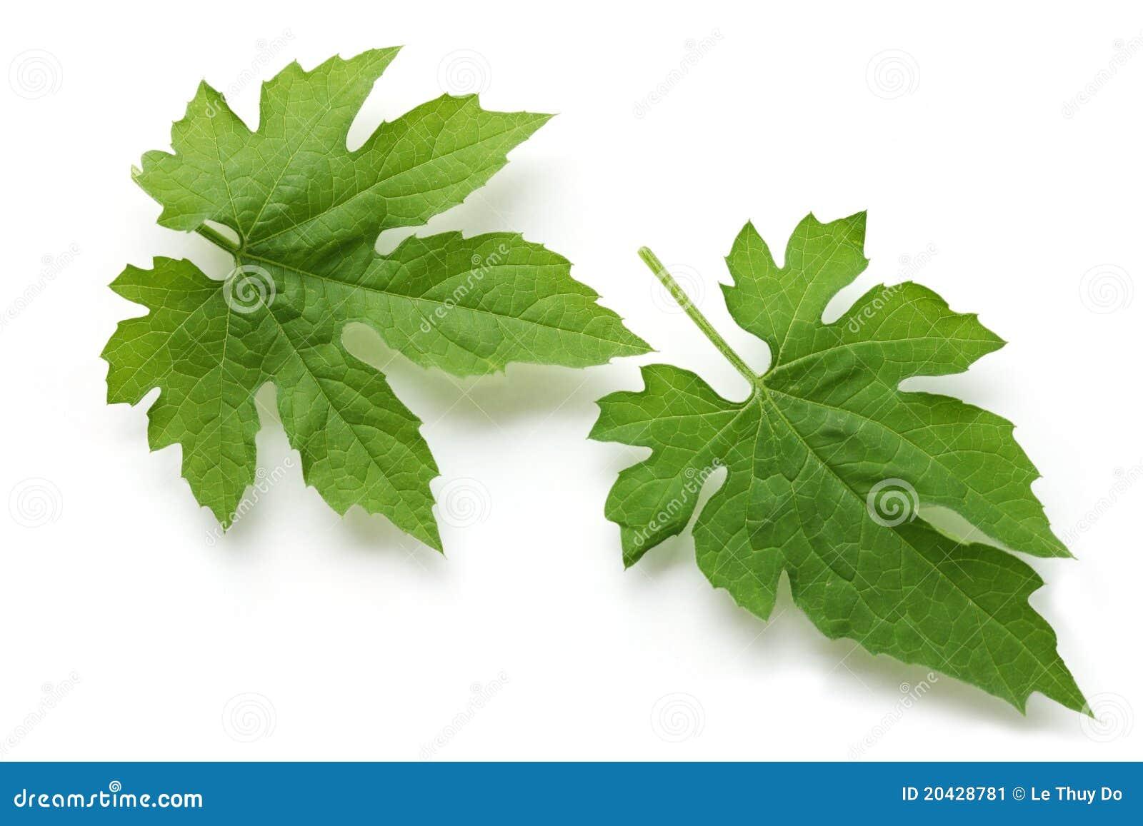 Bitter Melon Leaf Stock Image - Image: 20428781