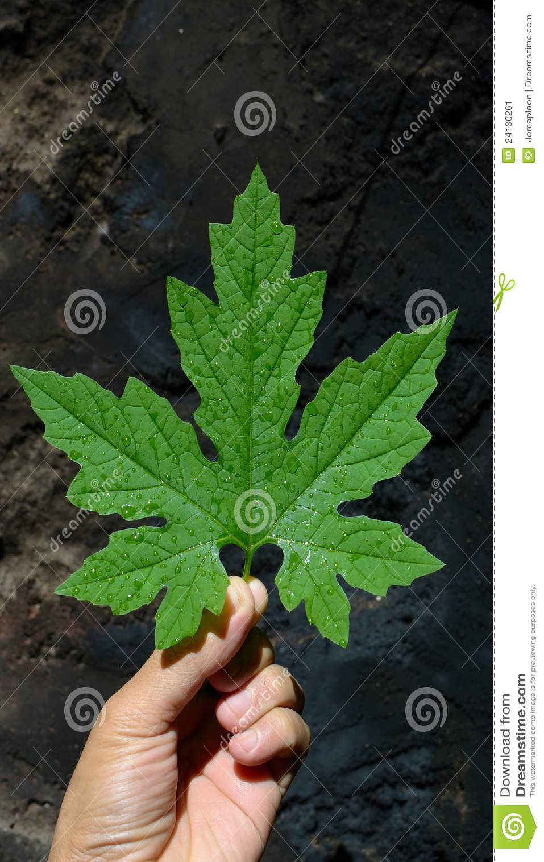 Bitter Melon Leaf 36