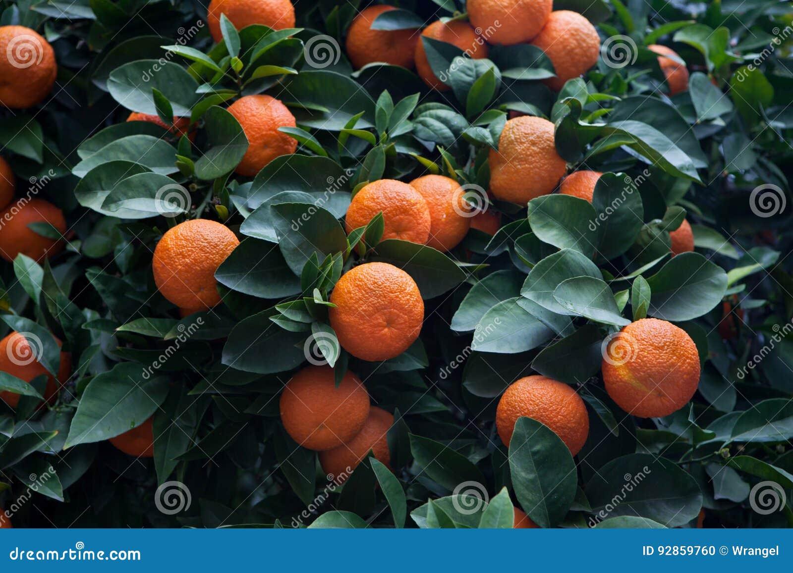 Bitter orange tree Citrus aurantium