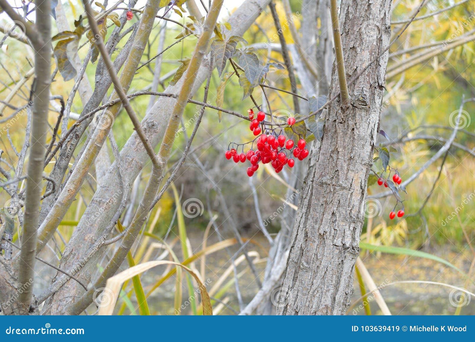 Bittersweet bush red berries