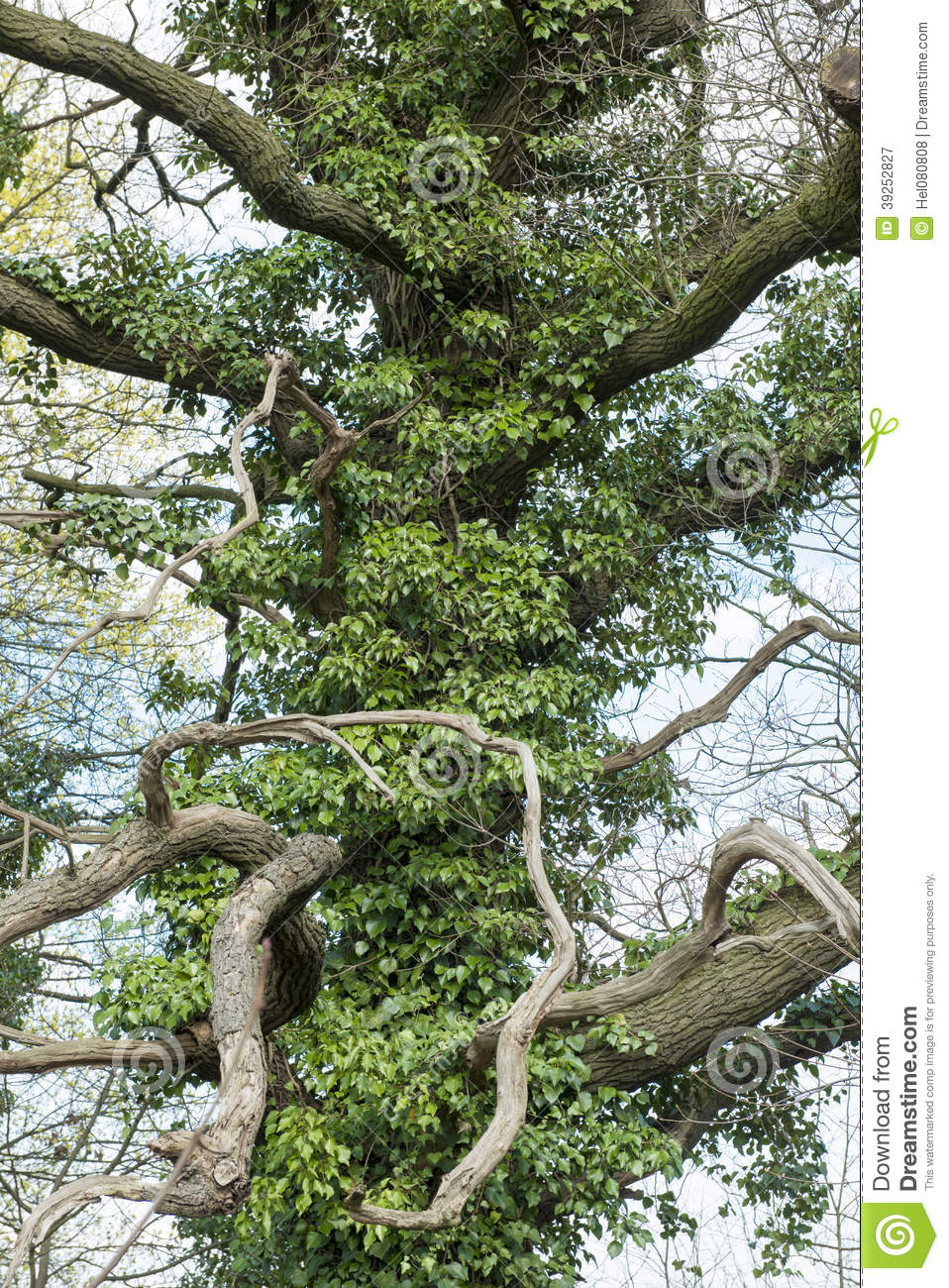 Bizarre tree covered with ivy stock image image of green for What is a tree trunk covered with 4 letters