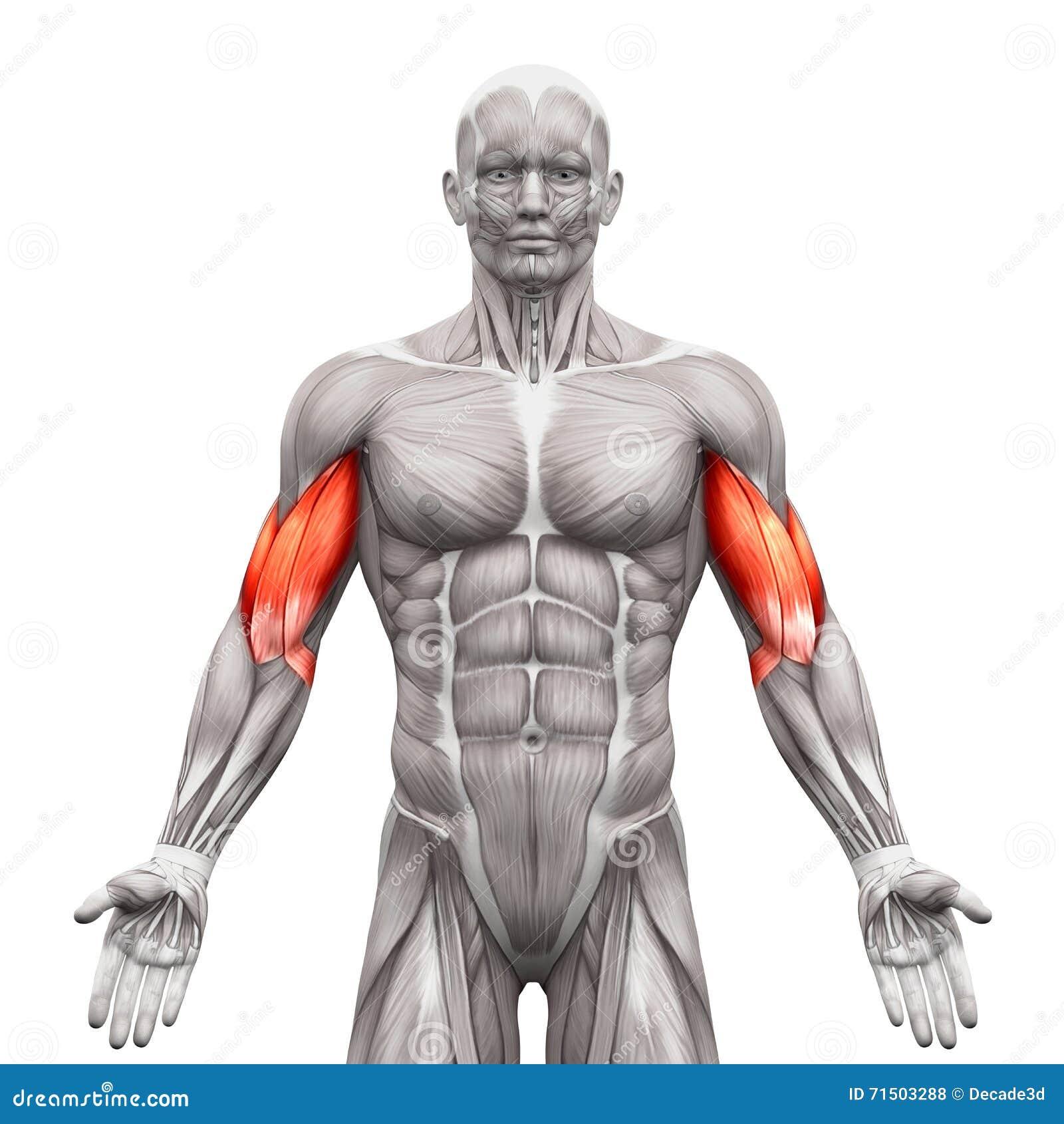 Ungewöhnlich Anatomie Des Bizeps Bilder - Physiologie Von ...