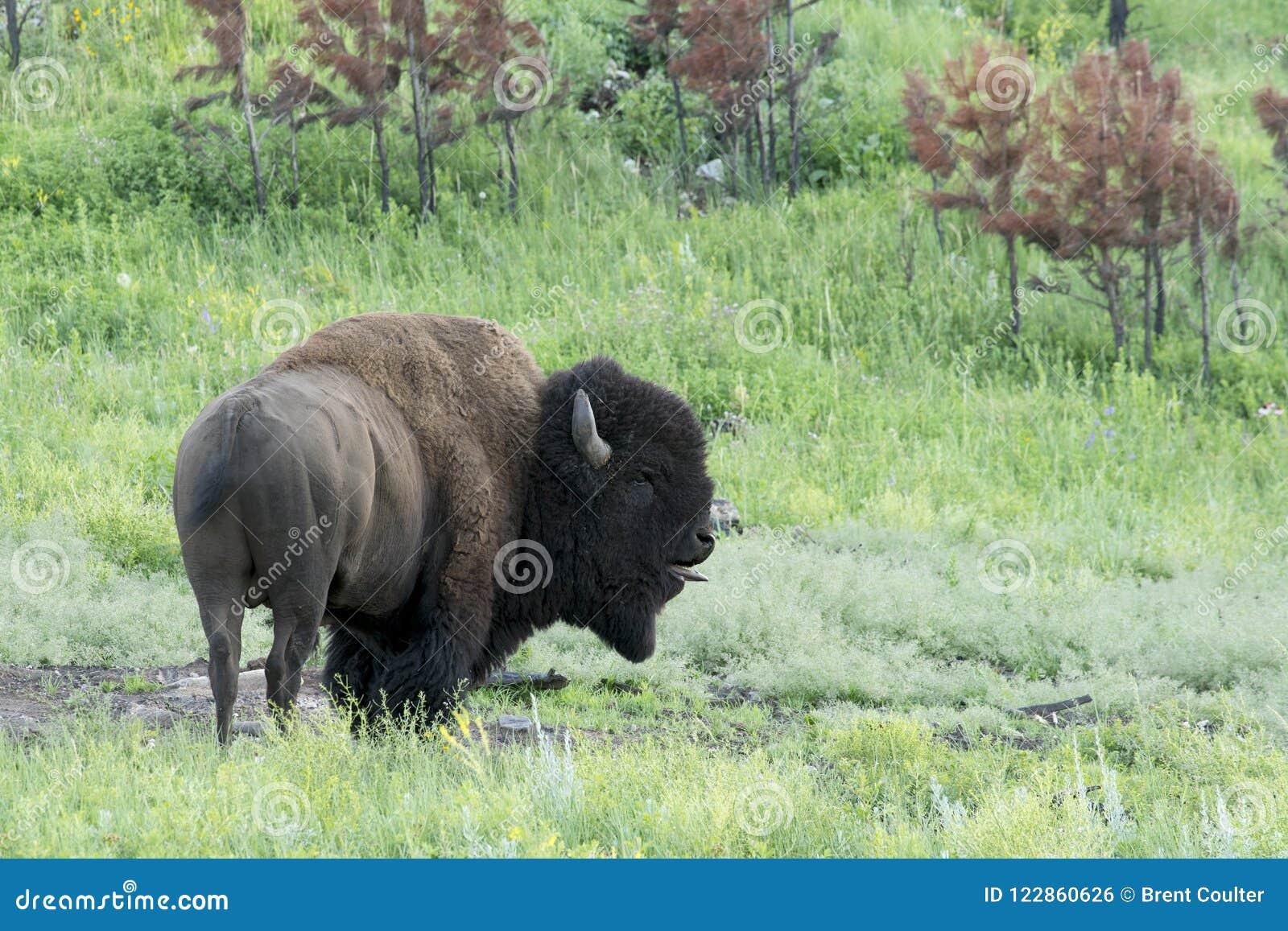 Bizon` Amerikaanse Buffels ` in Zuid-Dakota