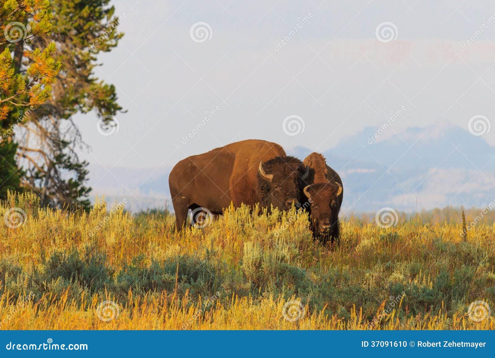 Download Bizony, żubry W Wysokiej Trawie W Yellowstone Parku Narodowym/ Zdjęcie Stock - Obraz złożonej z duży, montana: 37091610