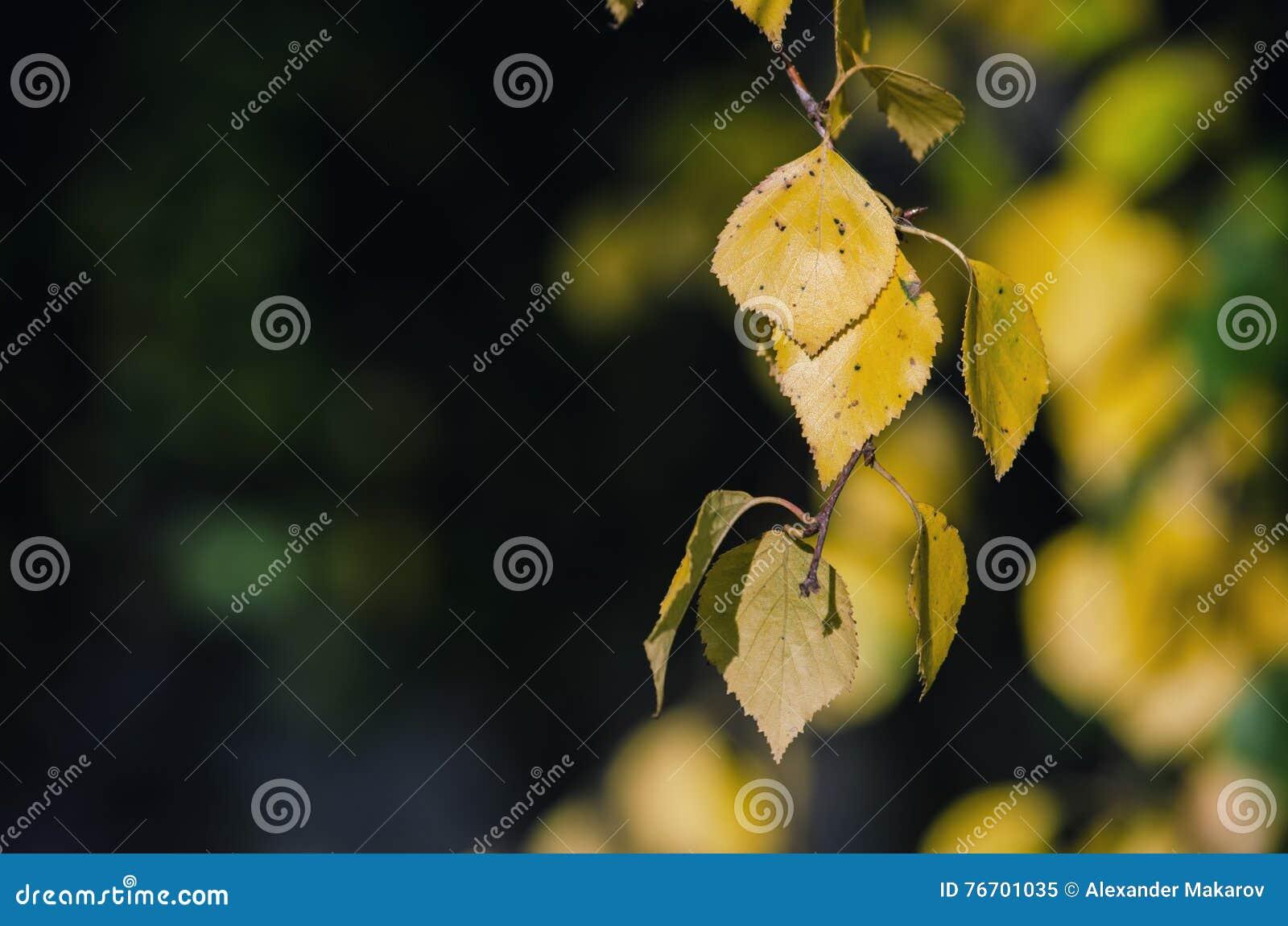 Björkfilial som hänger guld- sidor