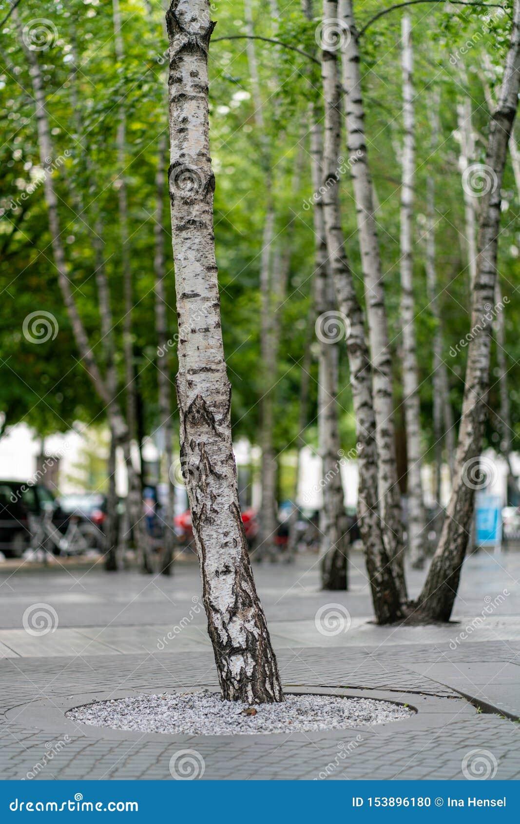 Björkträd som planteras i konkret golv
