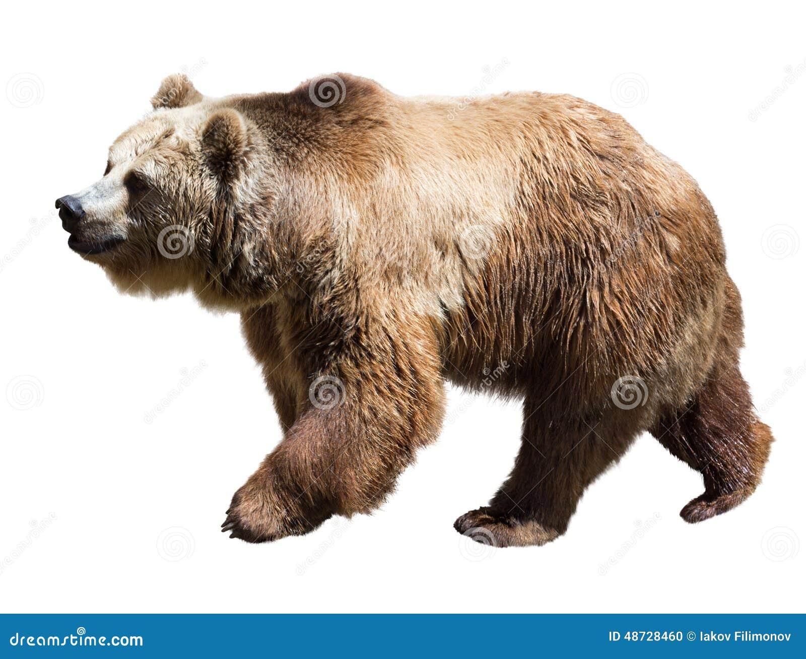 Björn Isolerat över vit
