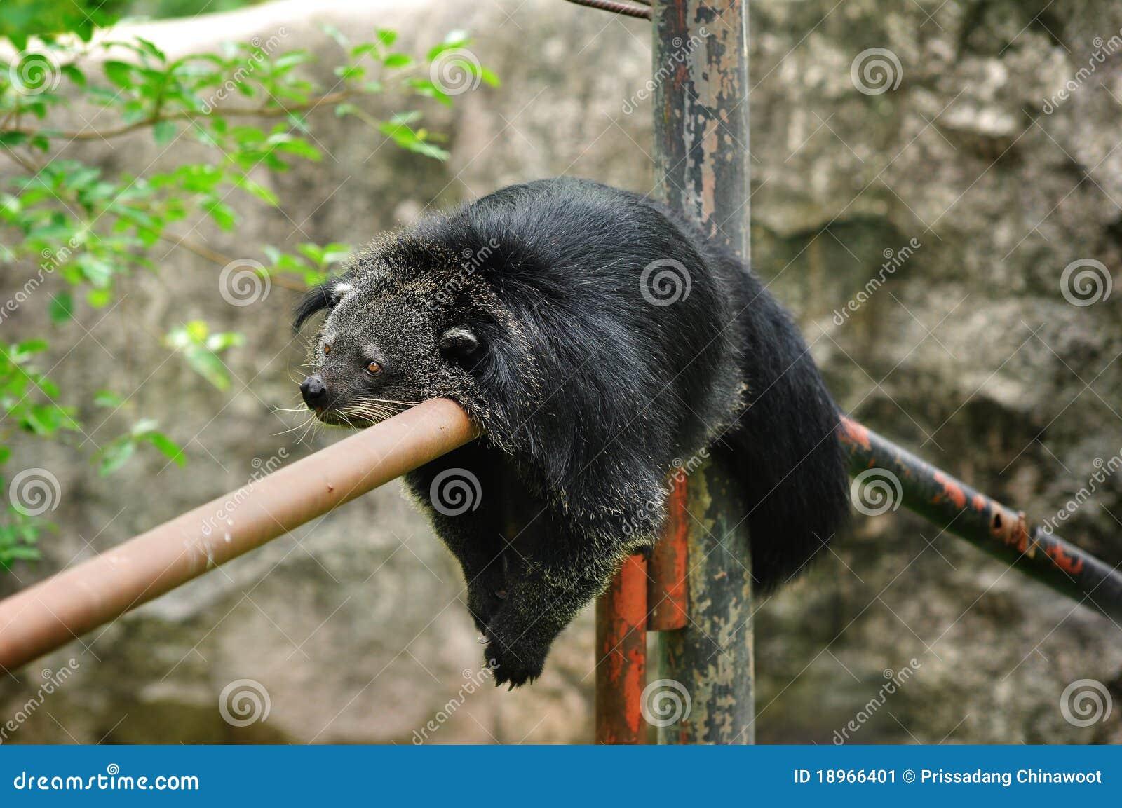 Björnbinturong