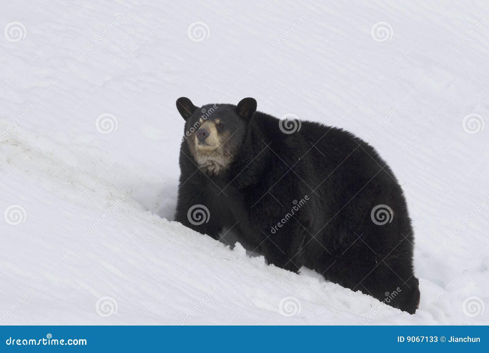 Björnblack