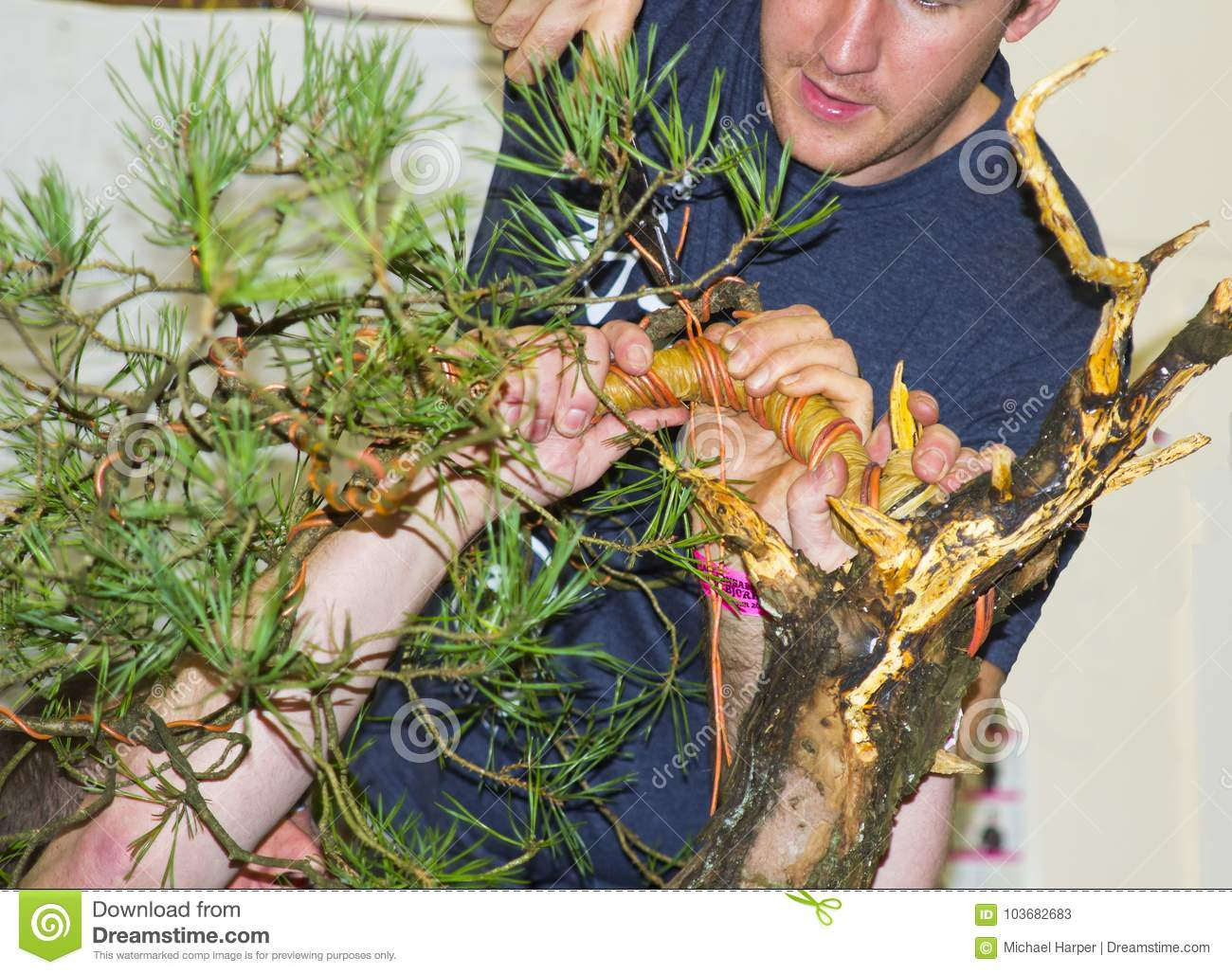 Scots Pine Bonsai Photos Free Royalty Free Stock Photos From Dreamstime