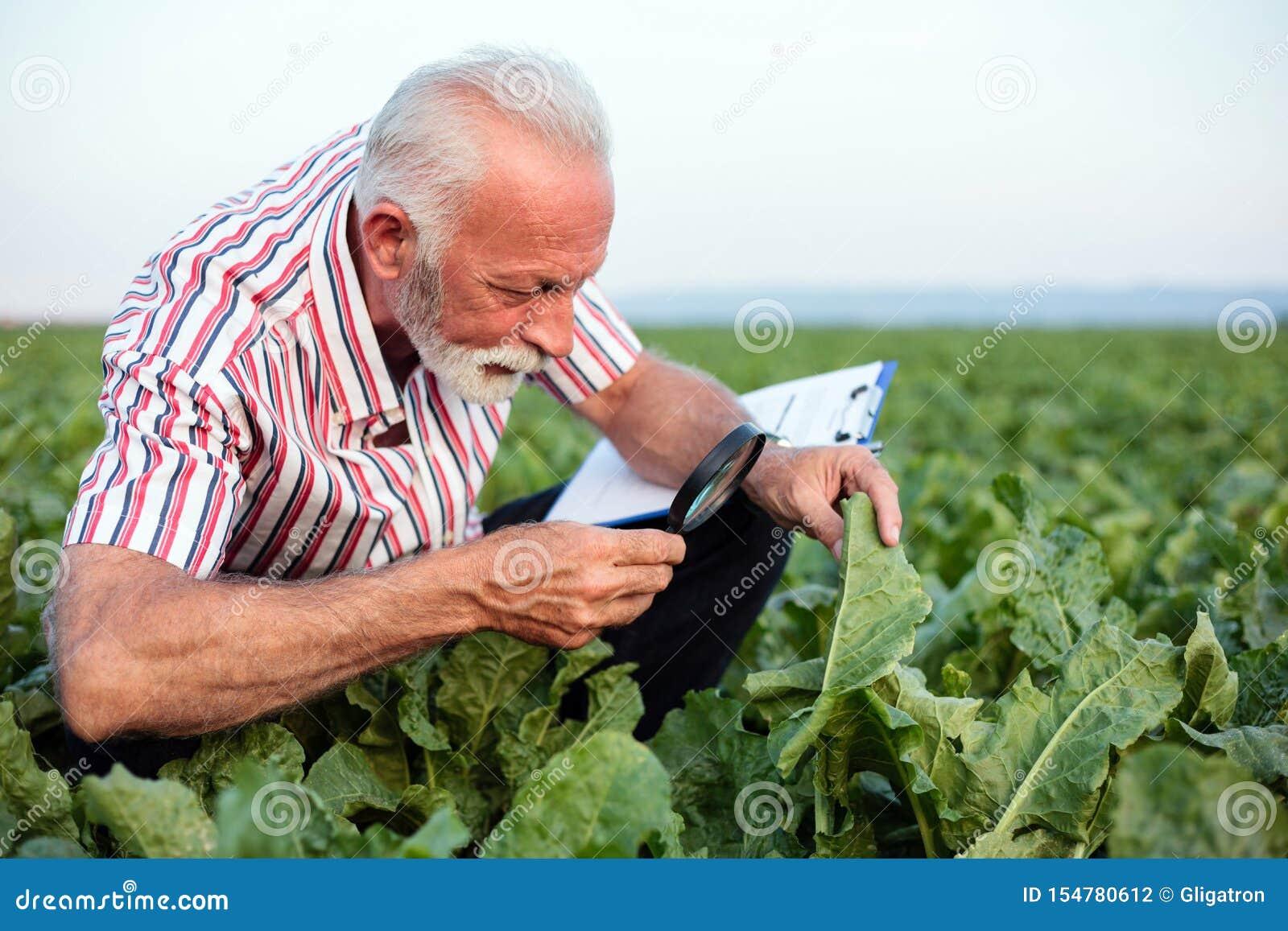 Blätter der ernste ältere Agronom oder Untersuchungszuckerrübe oder der Sojabohne des Landwirts mit Lupe