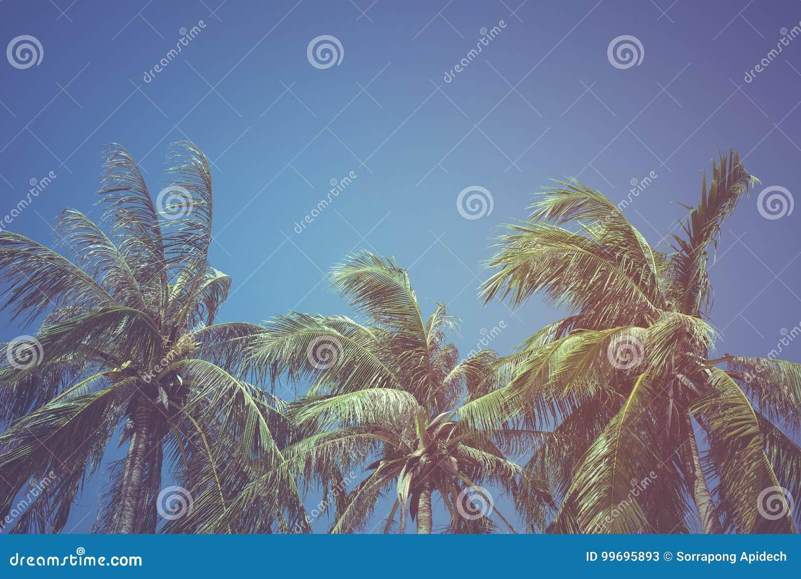 Blätter der Kokosnuss auf einem Hintergrund des blauen Himmels, Weinlesefilter