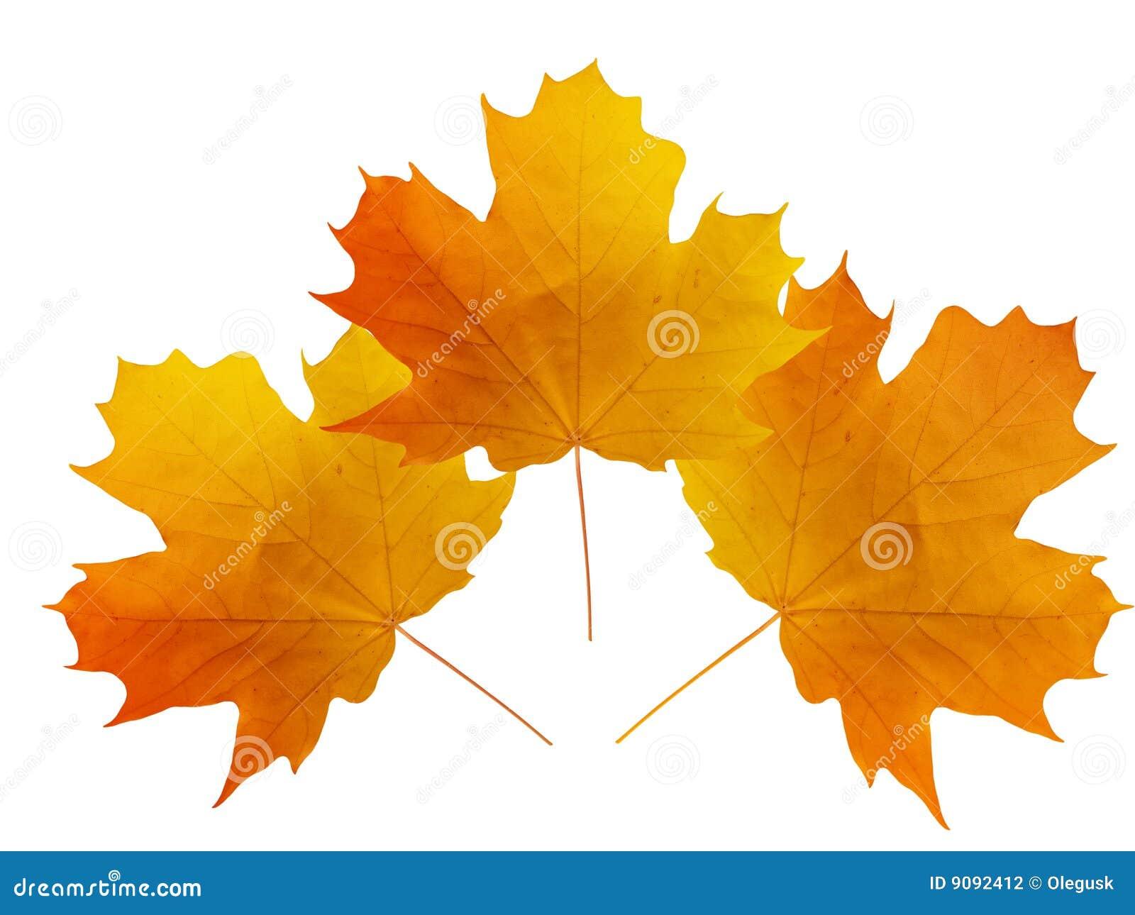 Blätter eines Baums ein Ahornholz