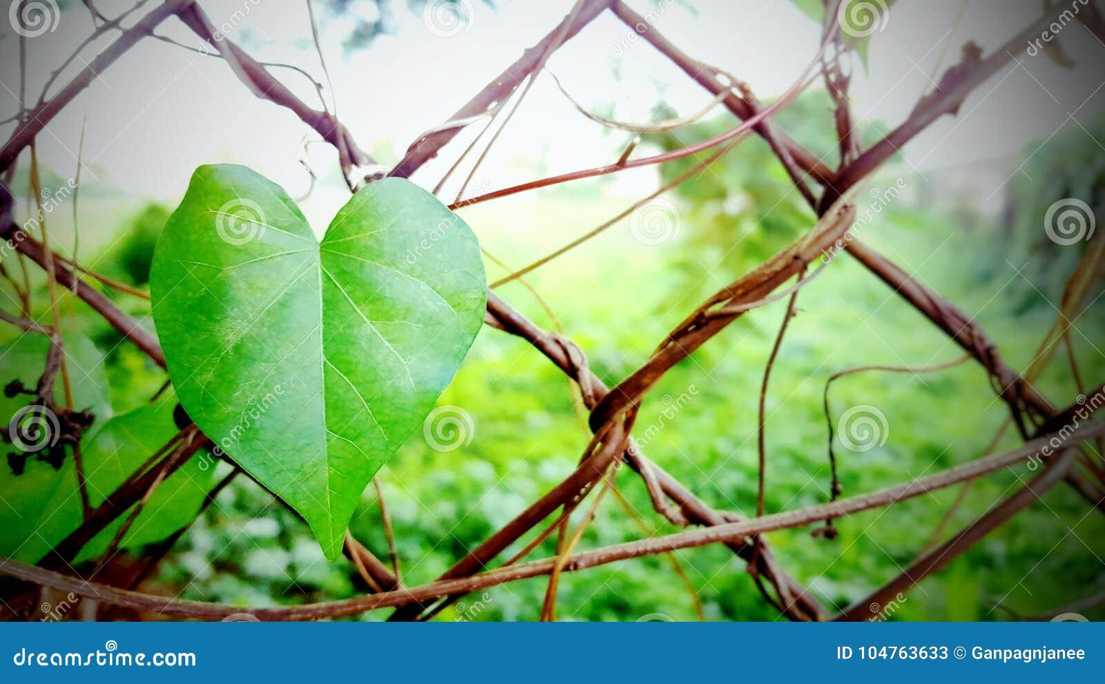 BLÄTTER LIEBEN, grünes Herzblatt, Naturhintergrund