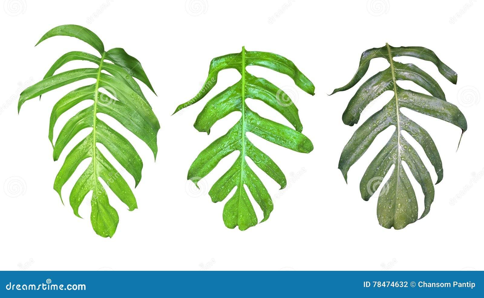 Blätter stellten von Monstera-Anlage mit Regentropfen, das tropische evergr ein