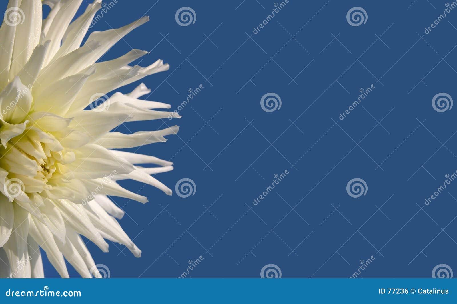 Blå blomma för bakgrund